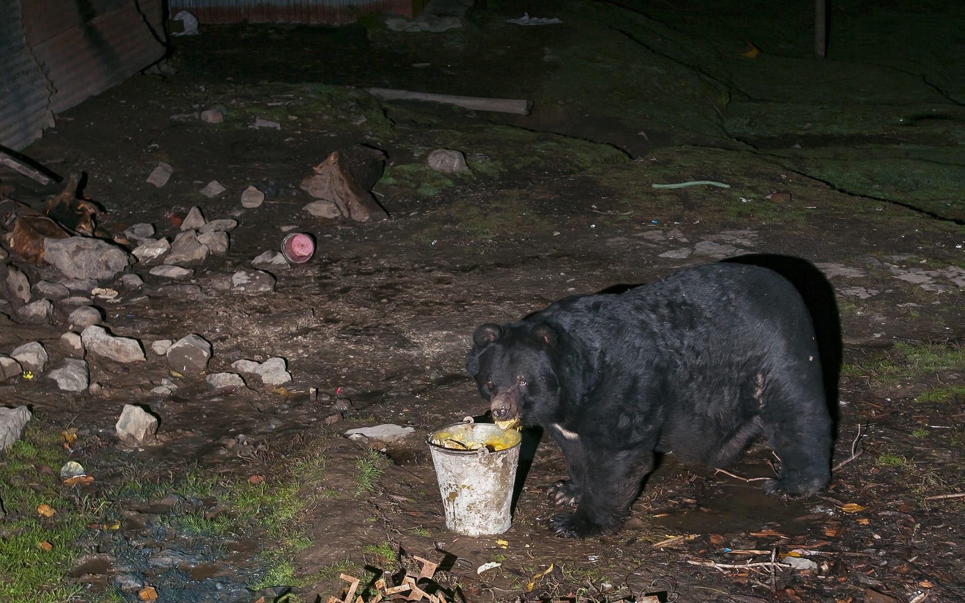 kashmir-gurez-valley-asiatic-or-himalayan-black-bear-at-army-canteen-eating-disposed-khichidi-human-interaction