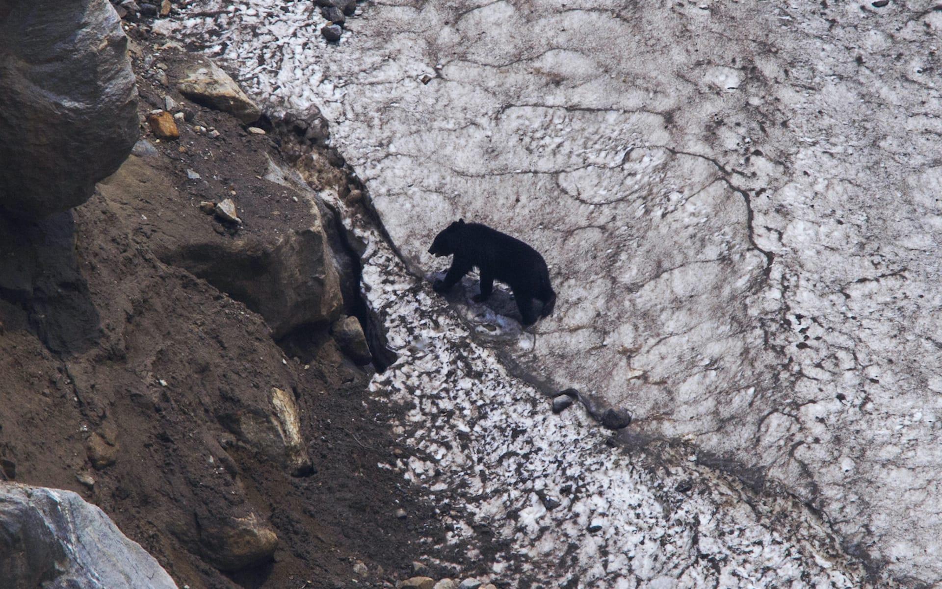 uttarakhand-bhilangna-valley-khatling-glacier-asiatic-or-himalayan-black-bear-climbing