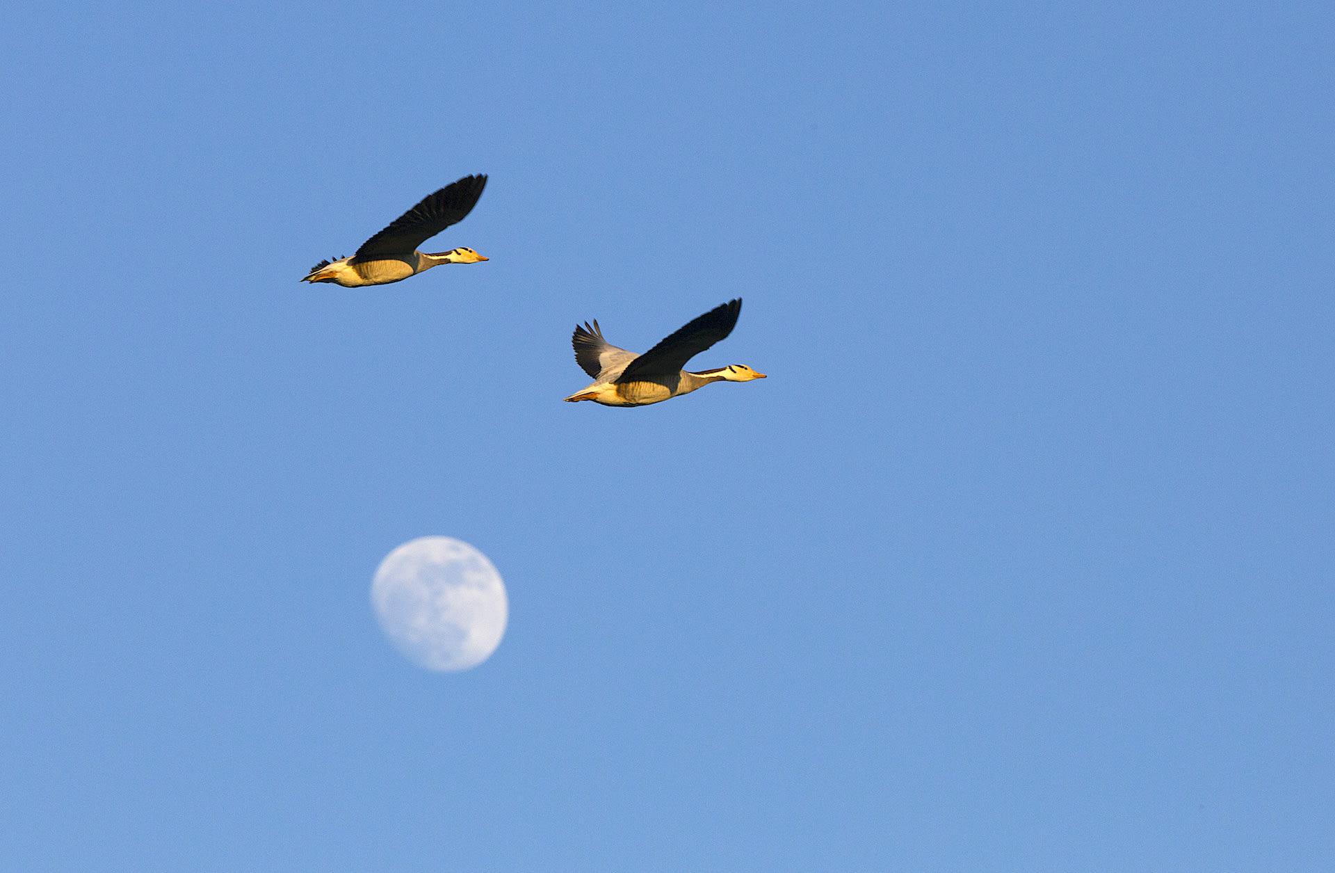 assam-dibru-saikhowa-bar-headed-geese-flight-full-moon