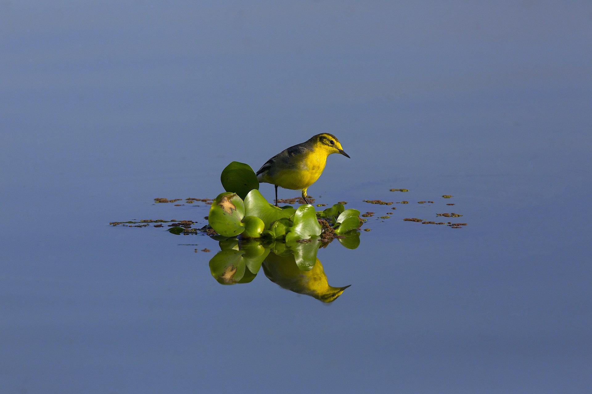 assam-dibru-saikhowa-citrine-wagtail-on-water