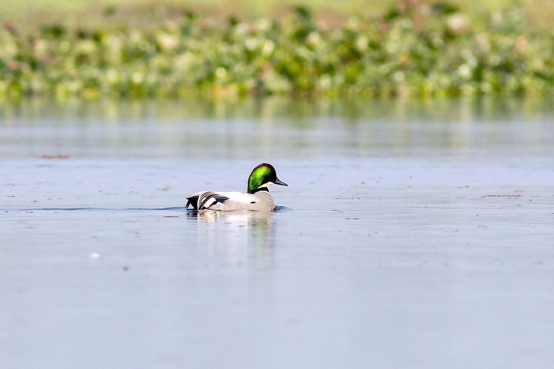 assam-dibru-saikhowa-falcated-duck-swimming