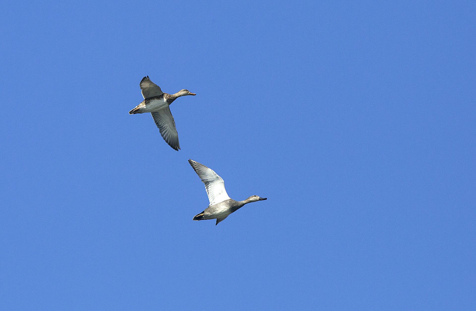 assam-dibru-saikhowa-greylag-geese-flight