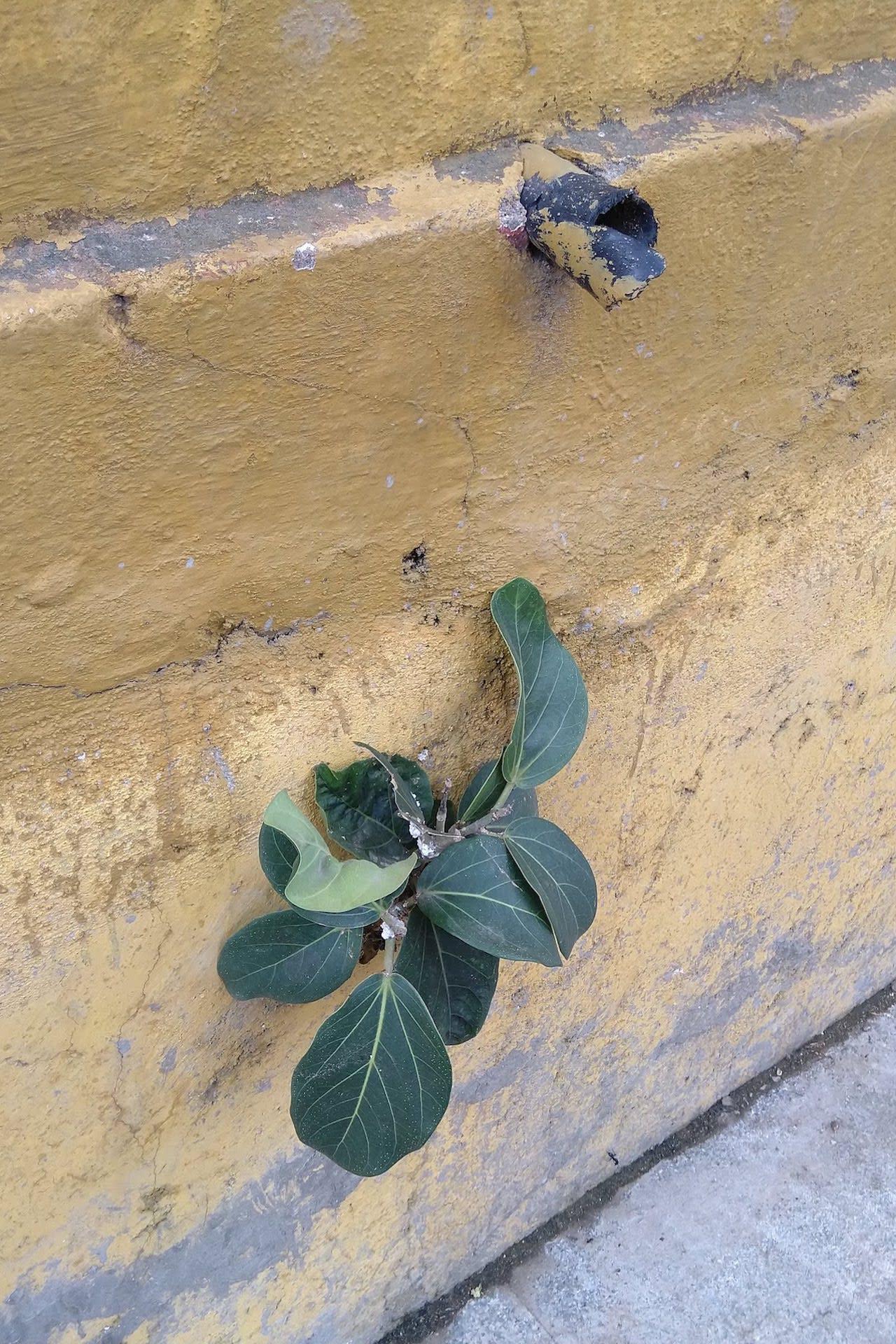 fig-sapling