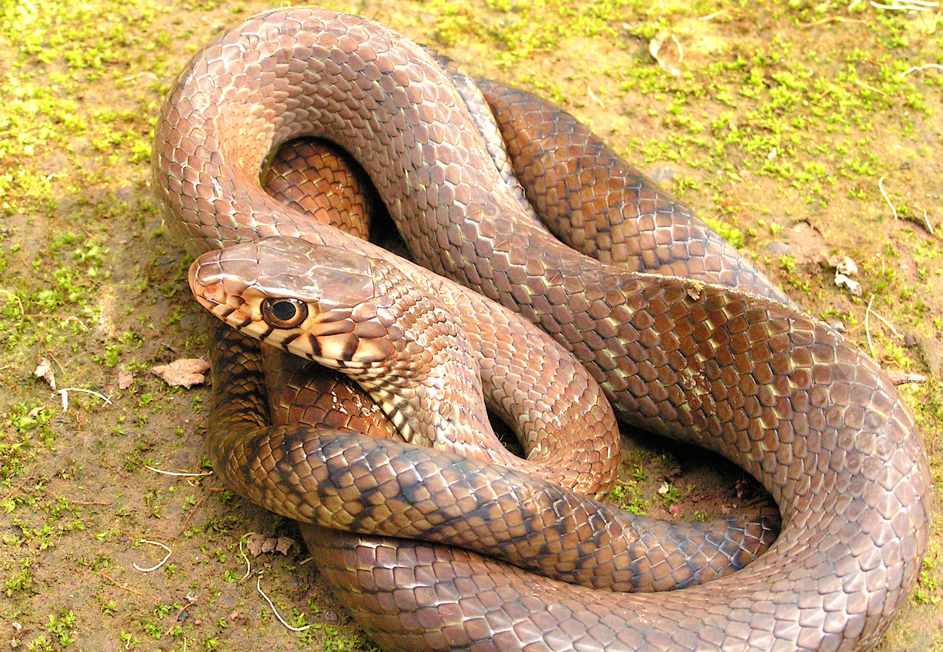Rat snake in brown morph