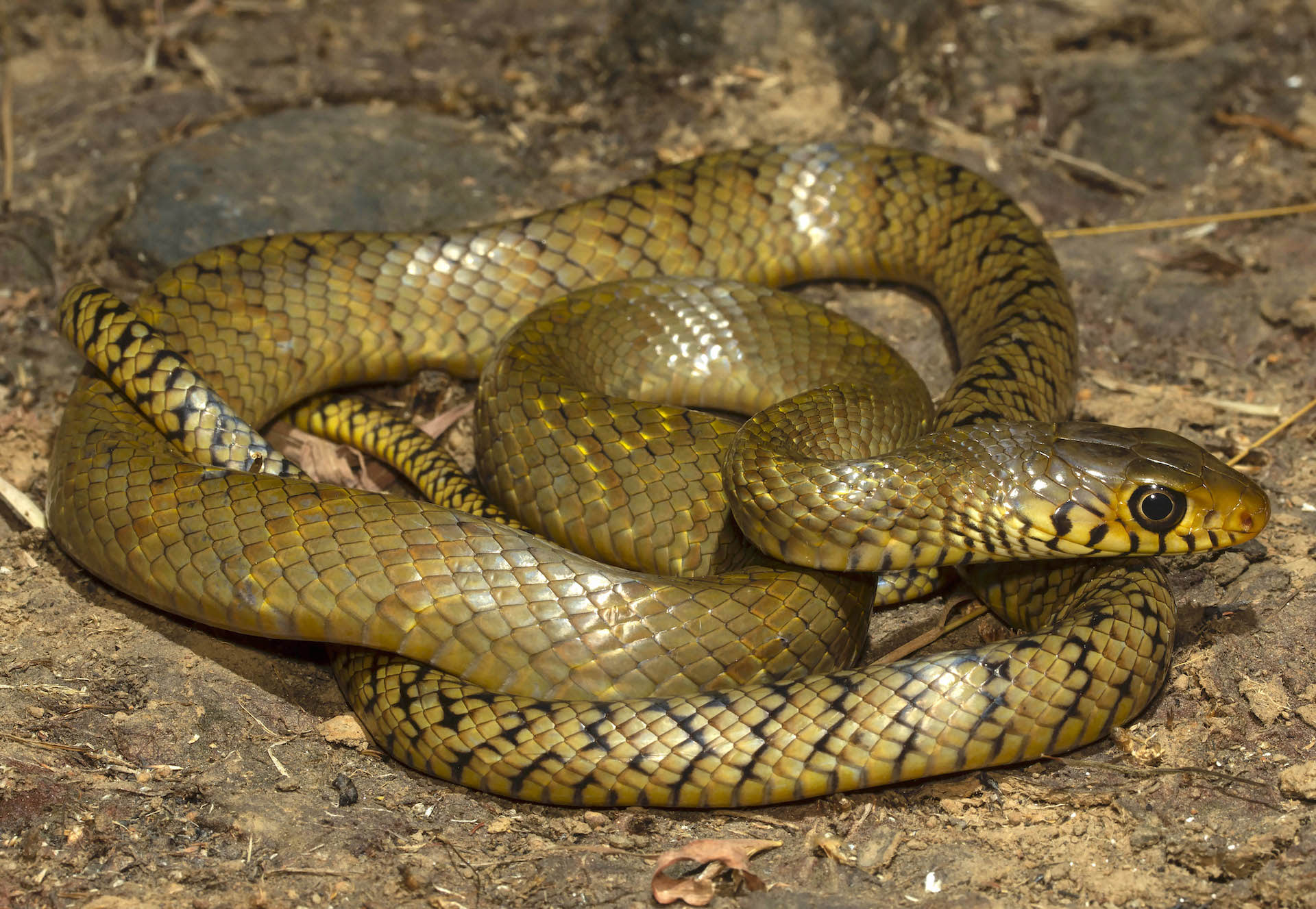 Rat snakes come in a wide range of colours such as this yellow morph