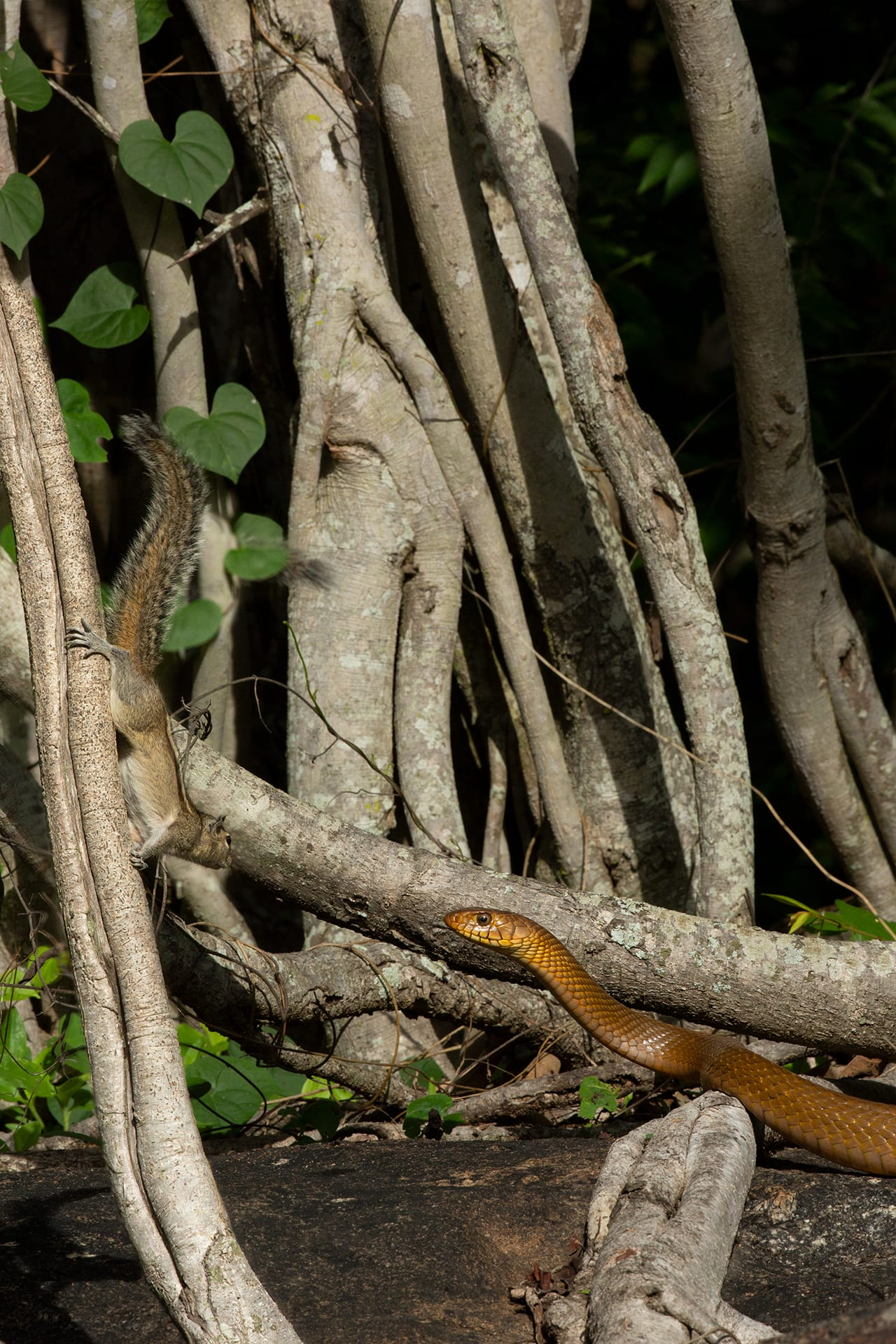 An Indian rat snake face to face with an Indian palm squirrel
