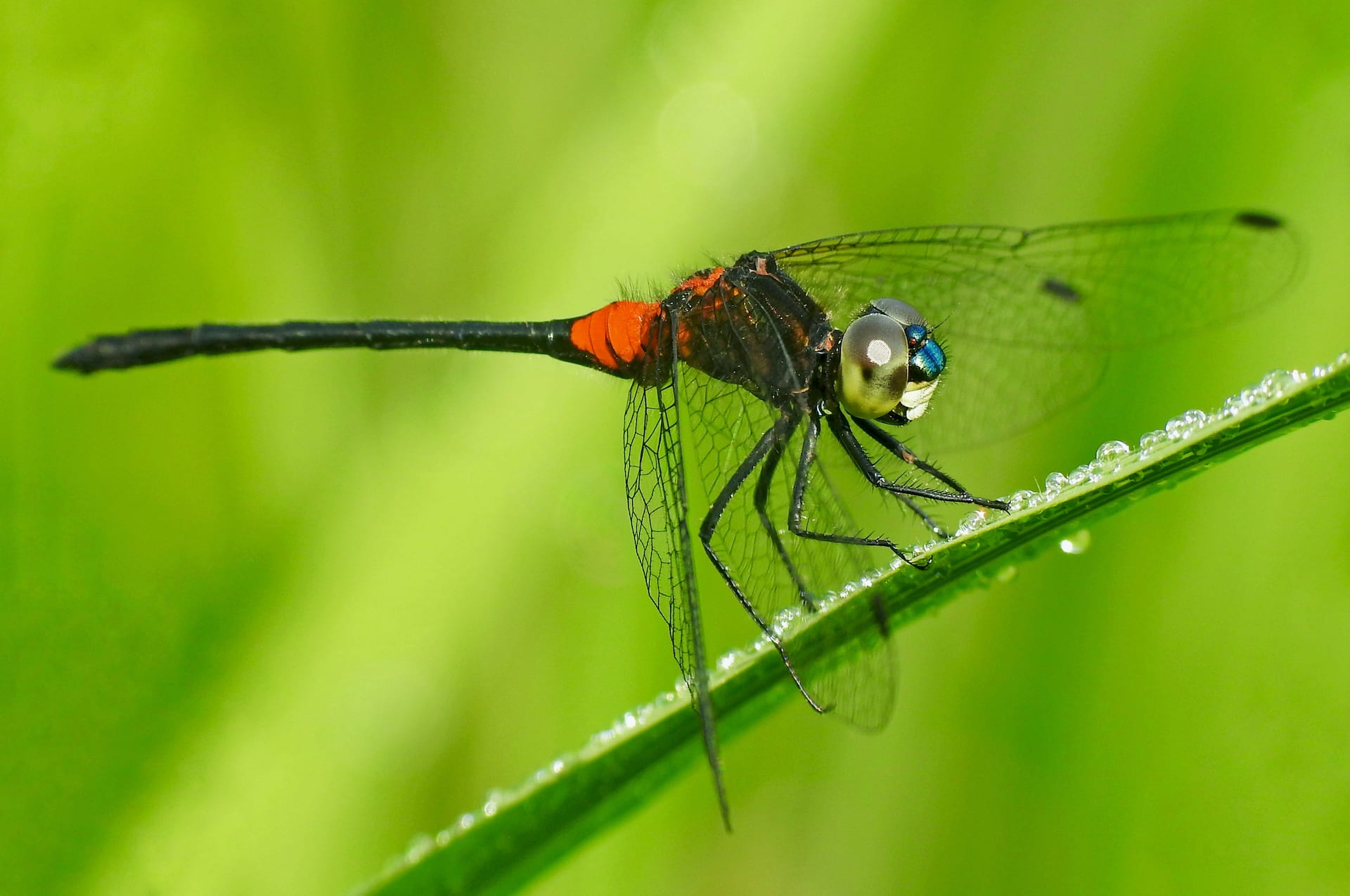 wayanad-ruby-tailed-hawlet-male-paddy-field