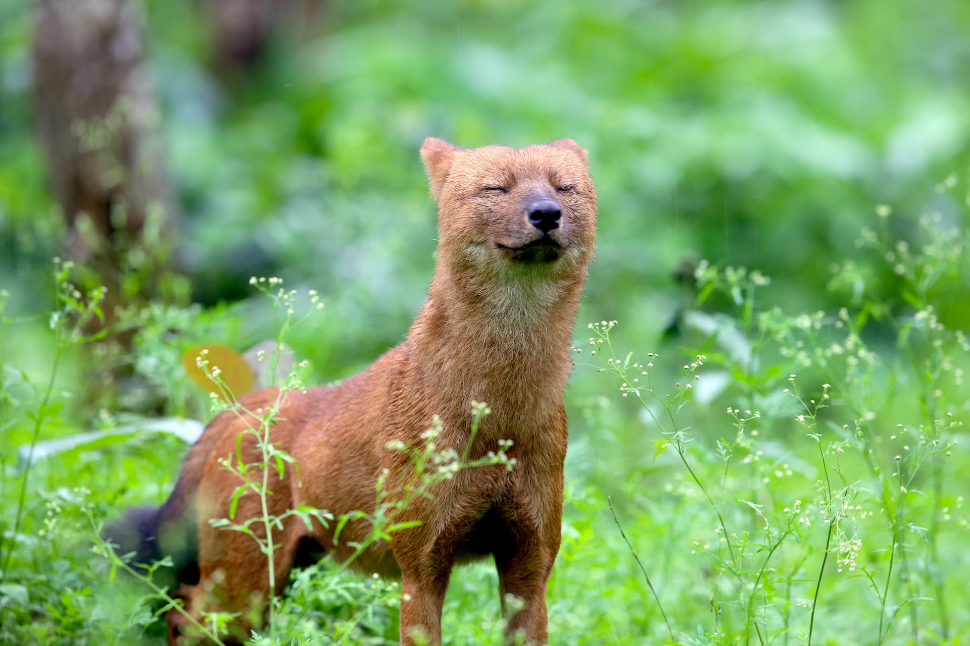 Going to the Dogs? Turning the Page for India's Endangered Dhole