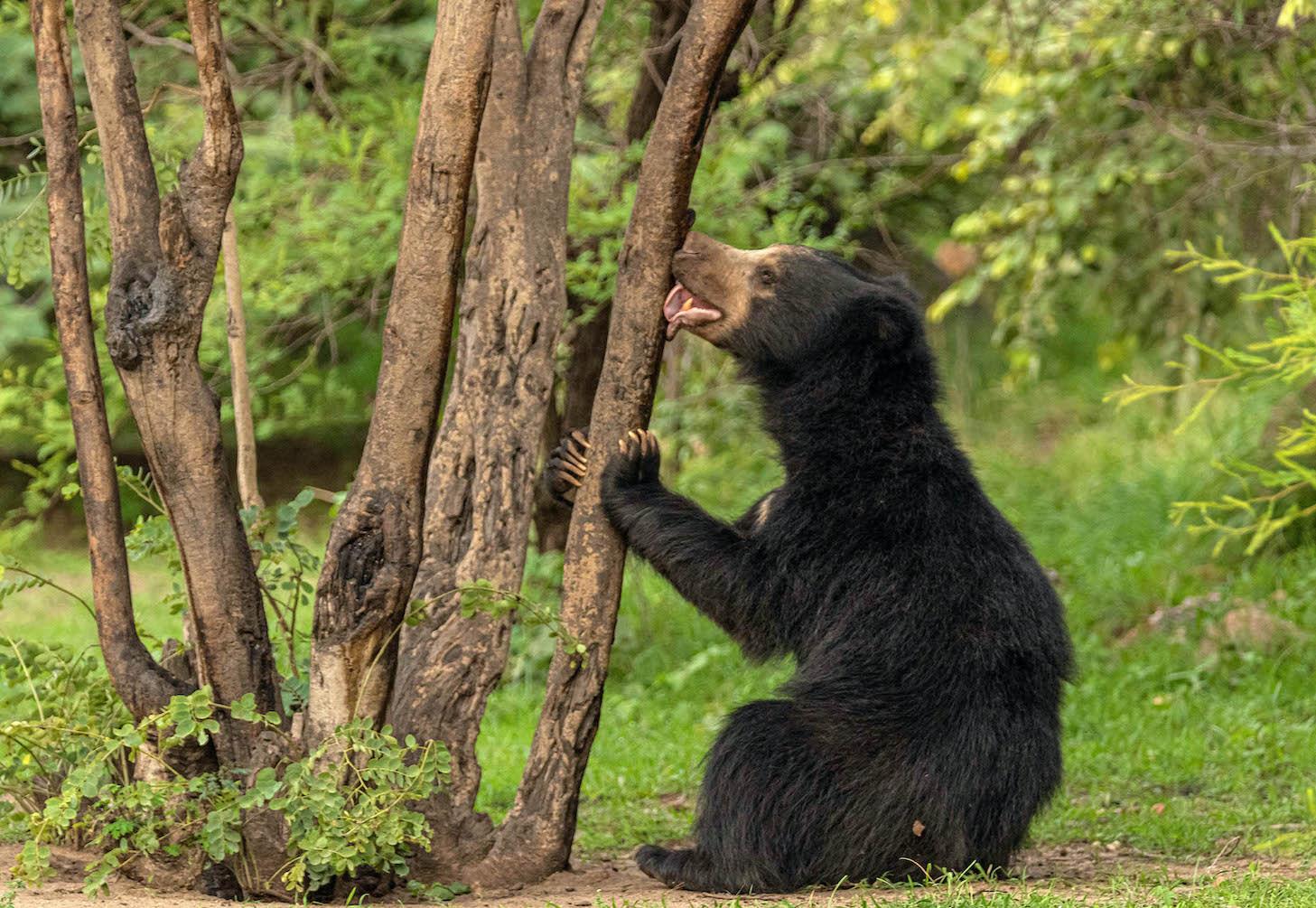 Sloth bear licking the bark of a tree in Daroji