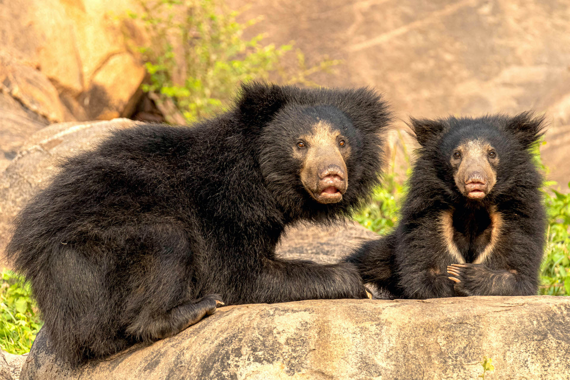 Bare Truth: Why We Need to Save Our Sloth Bears