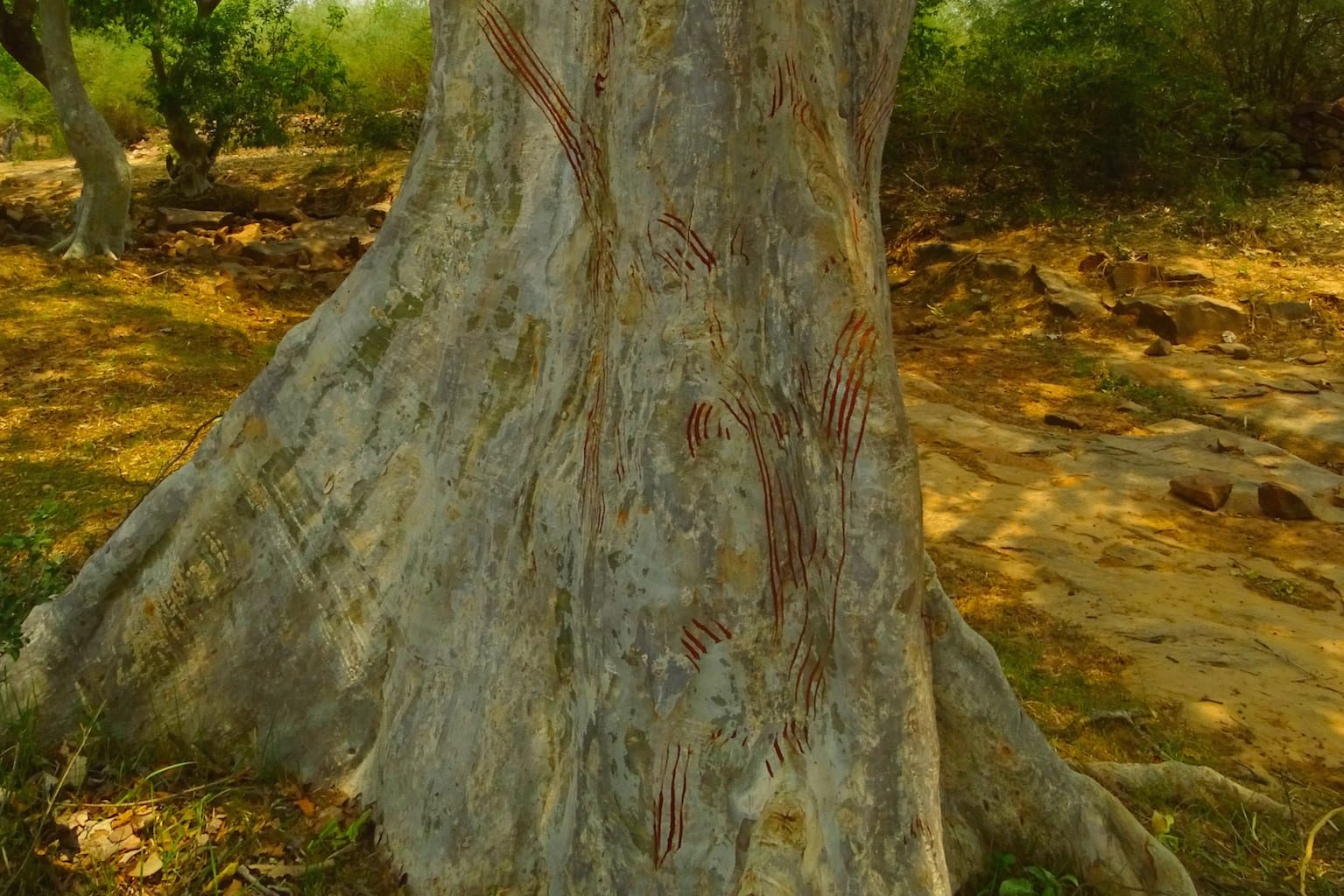 Close up of scratch marks made by a sloth bear while climbing