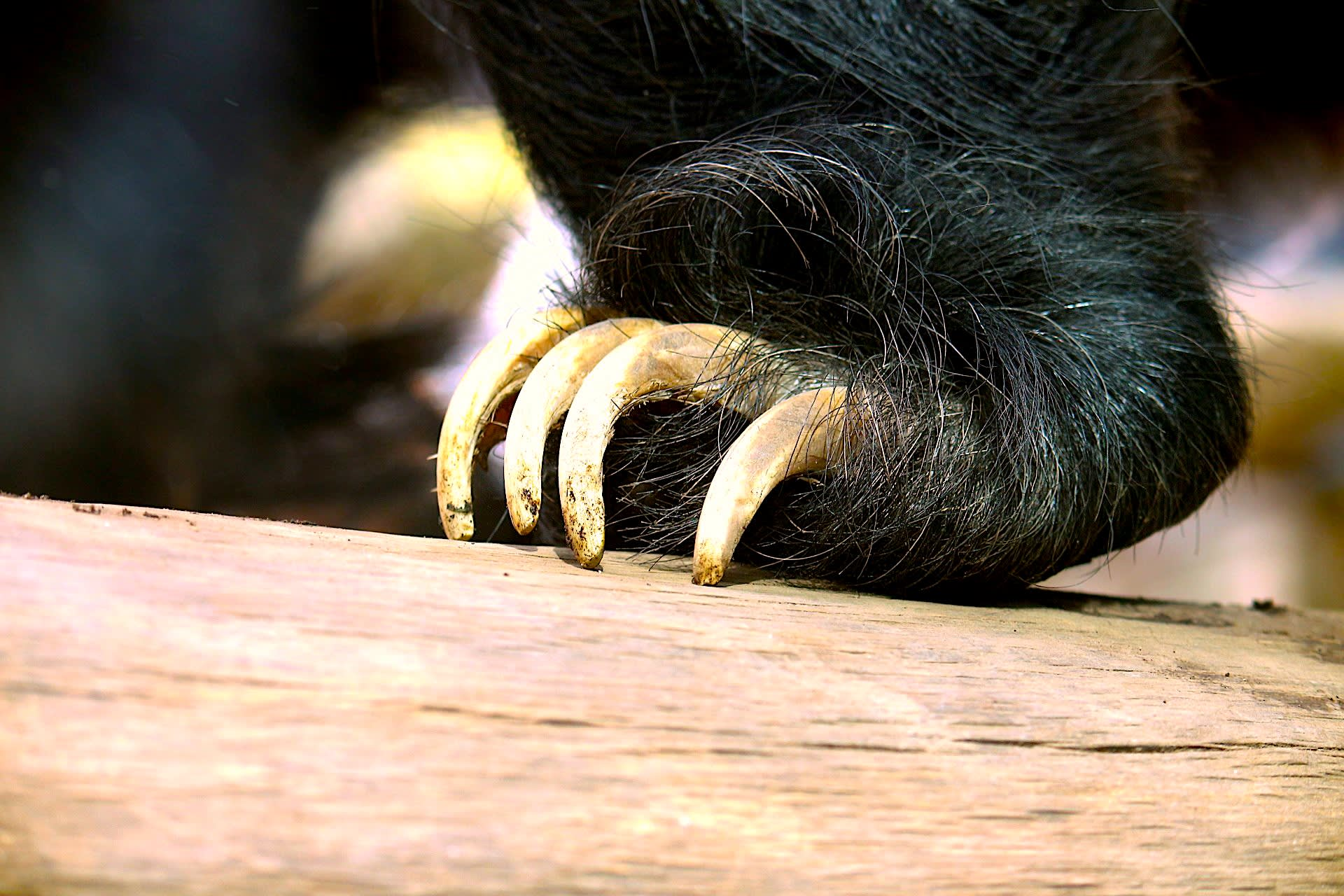 Close up of a sloth bear's claws