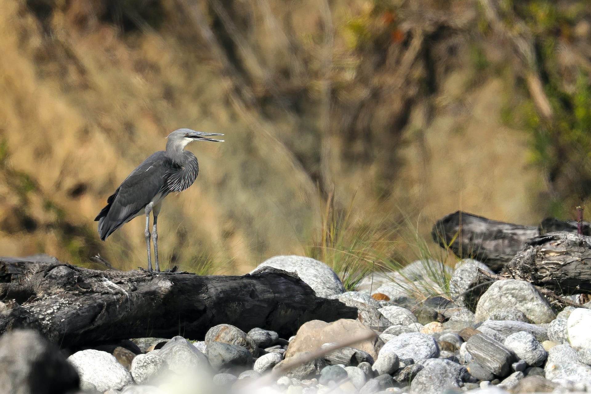 River Recluse: The White-bellied Heron of Namdapha National Park