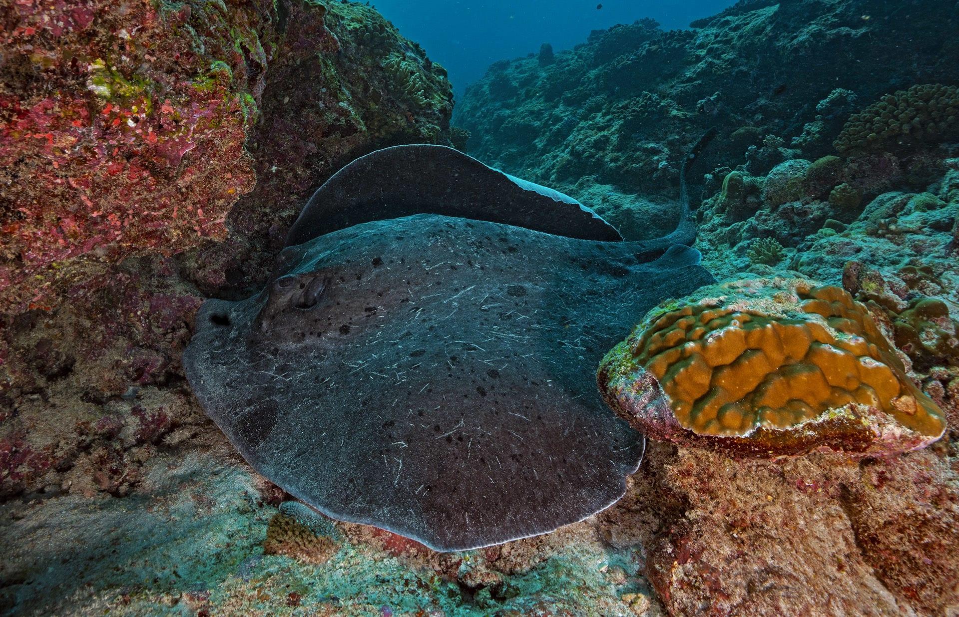 lakshadweep-black-blotched-sting-ray