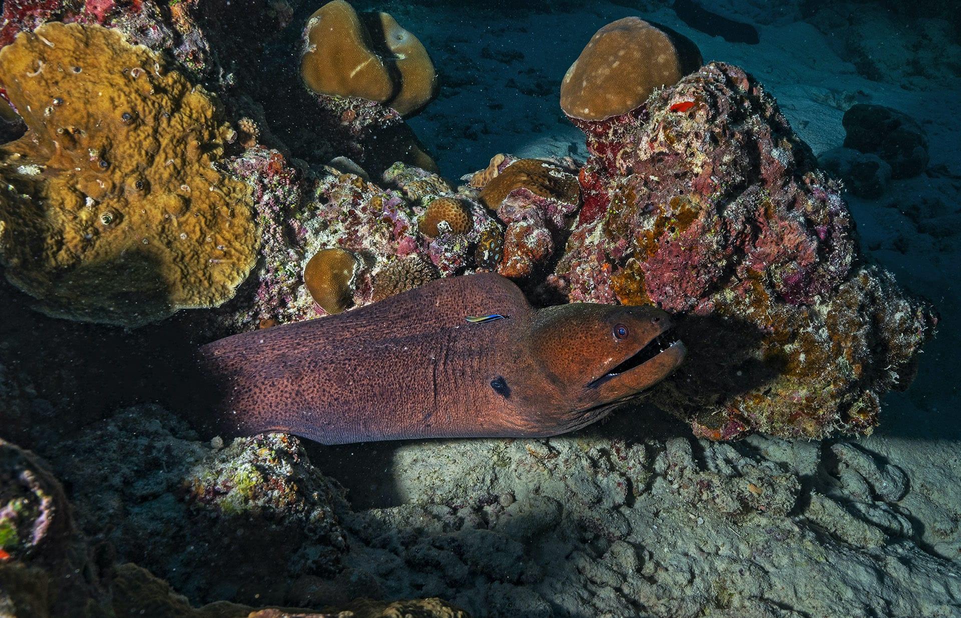 lakshadweep-giant-moray-eel