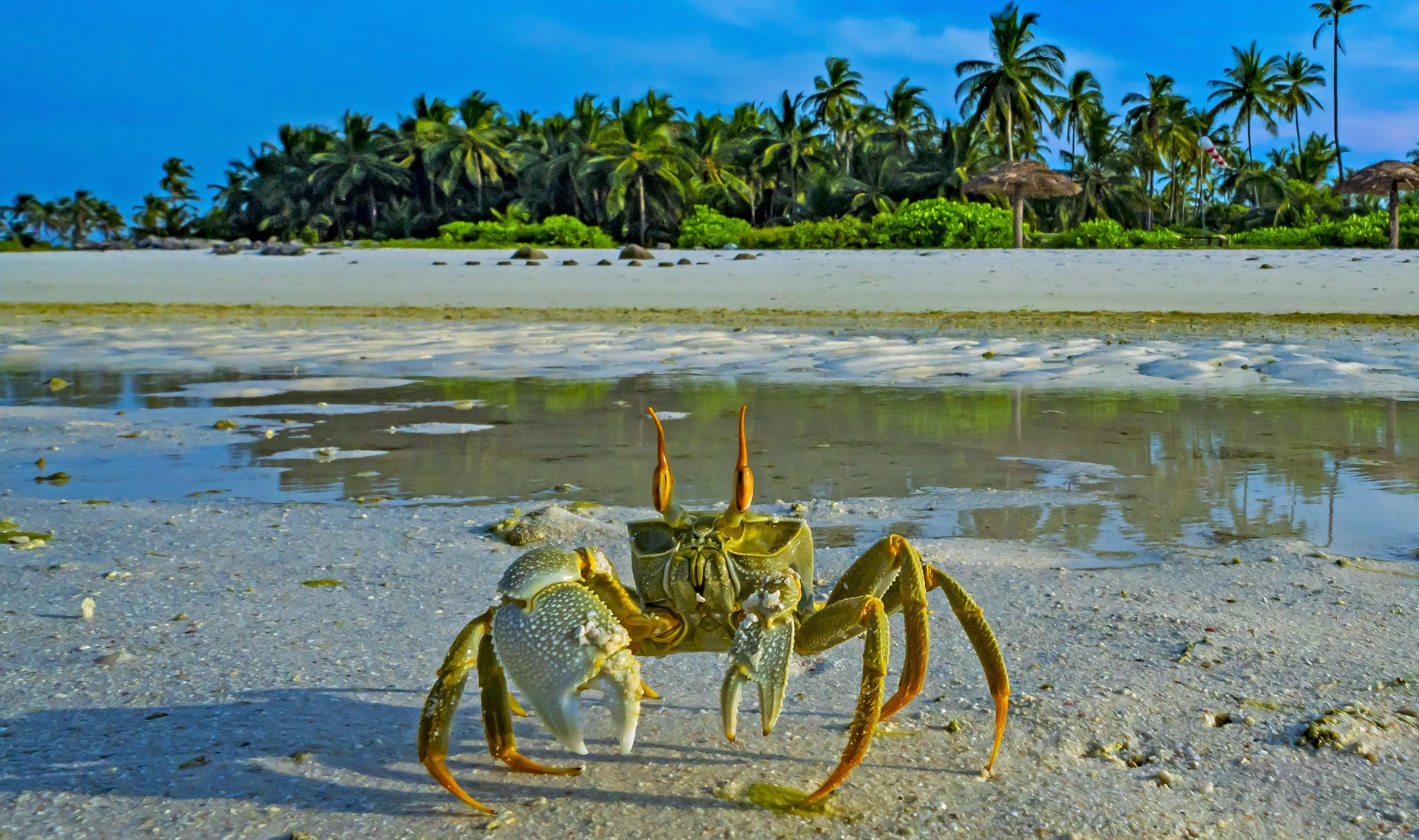 lakshadweep-horn-eyed-ghost-crab-sand