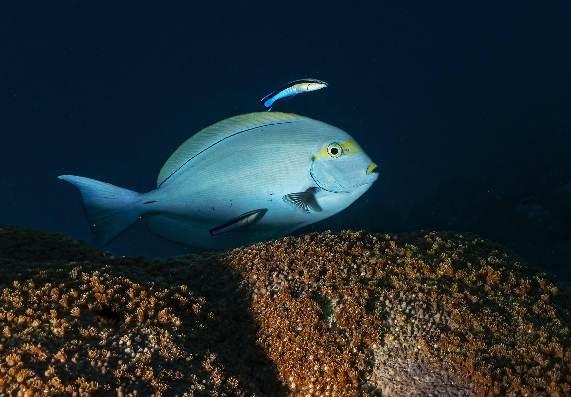 lakshadweep-surgeonfish-changes-colour-blue