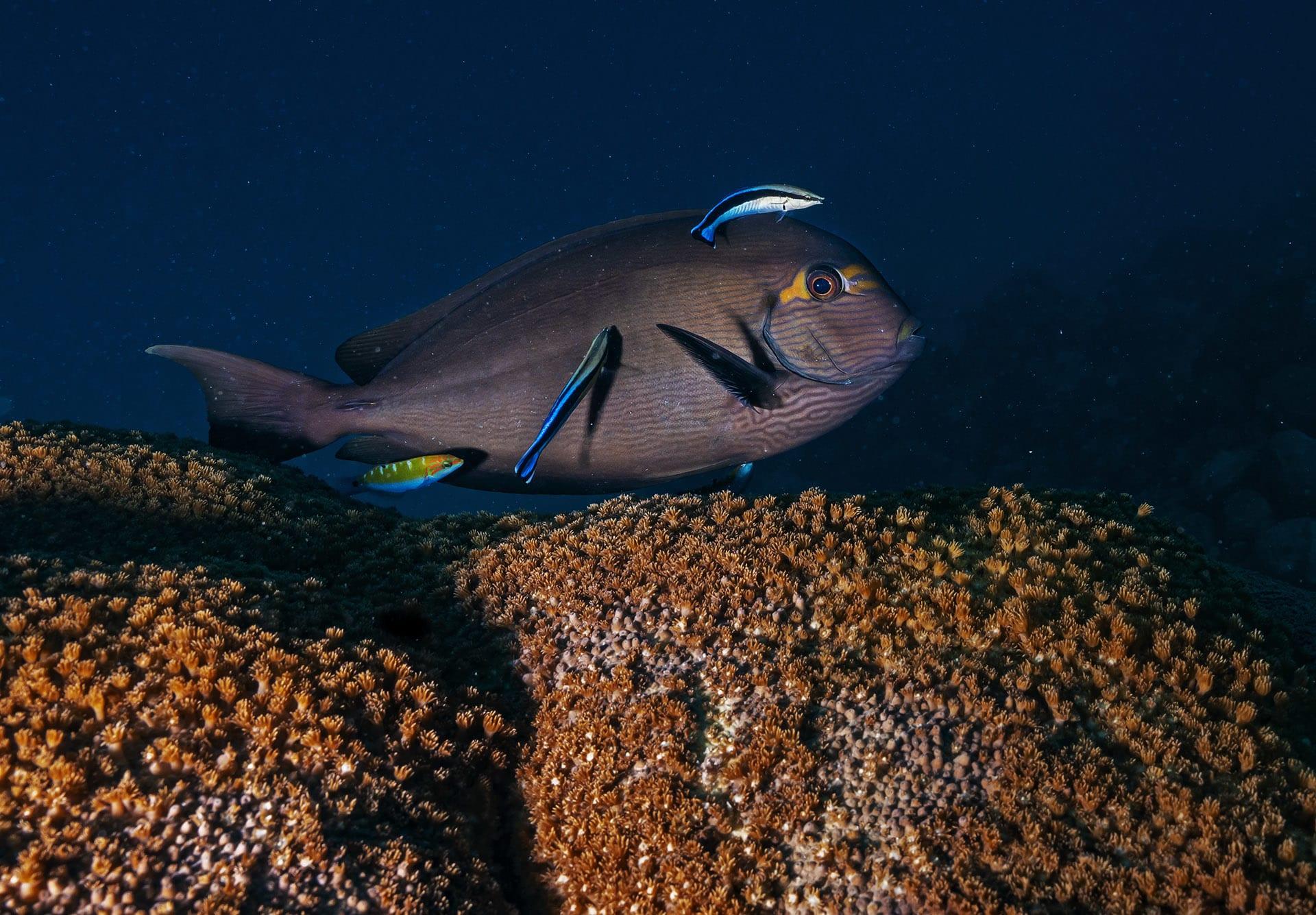 lakshadweep-surgeonfish-changes colours