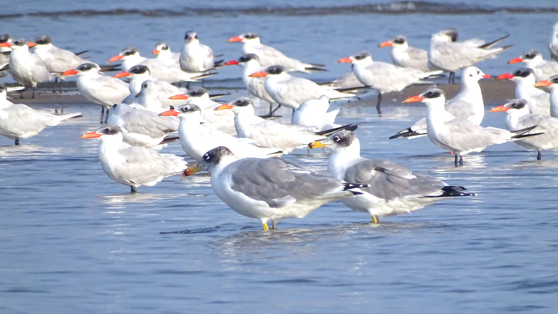 Caspian terns and Pallas's gulls at Pulicat