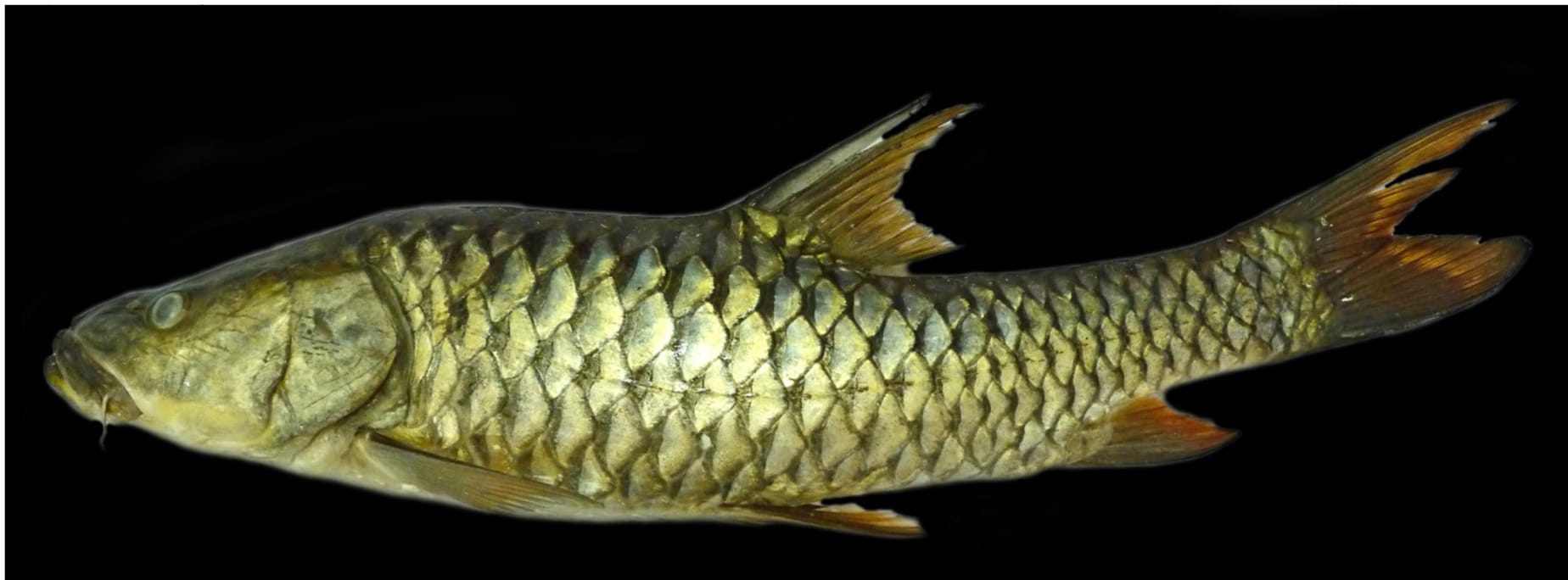 The humpback mahseer was earlier confused with the golden mahseer (Tor putitora) found in Himalayan rivers and streams. This is an image of a preserved specimen of the humpback which has been given the scientific name (Tor remadevii) in June 2018, after much research and debate. Photo: Pinder et. al, CC BY 4.0
