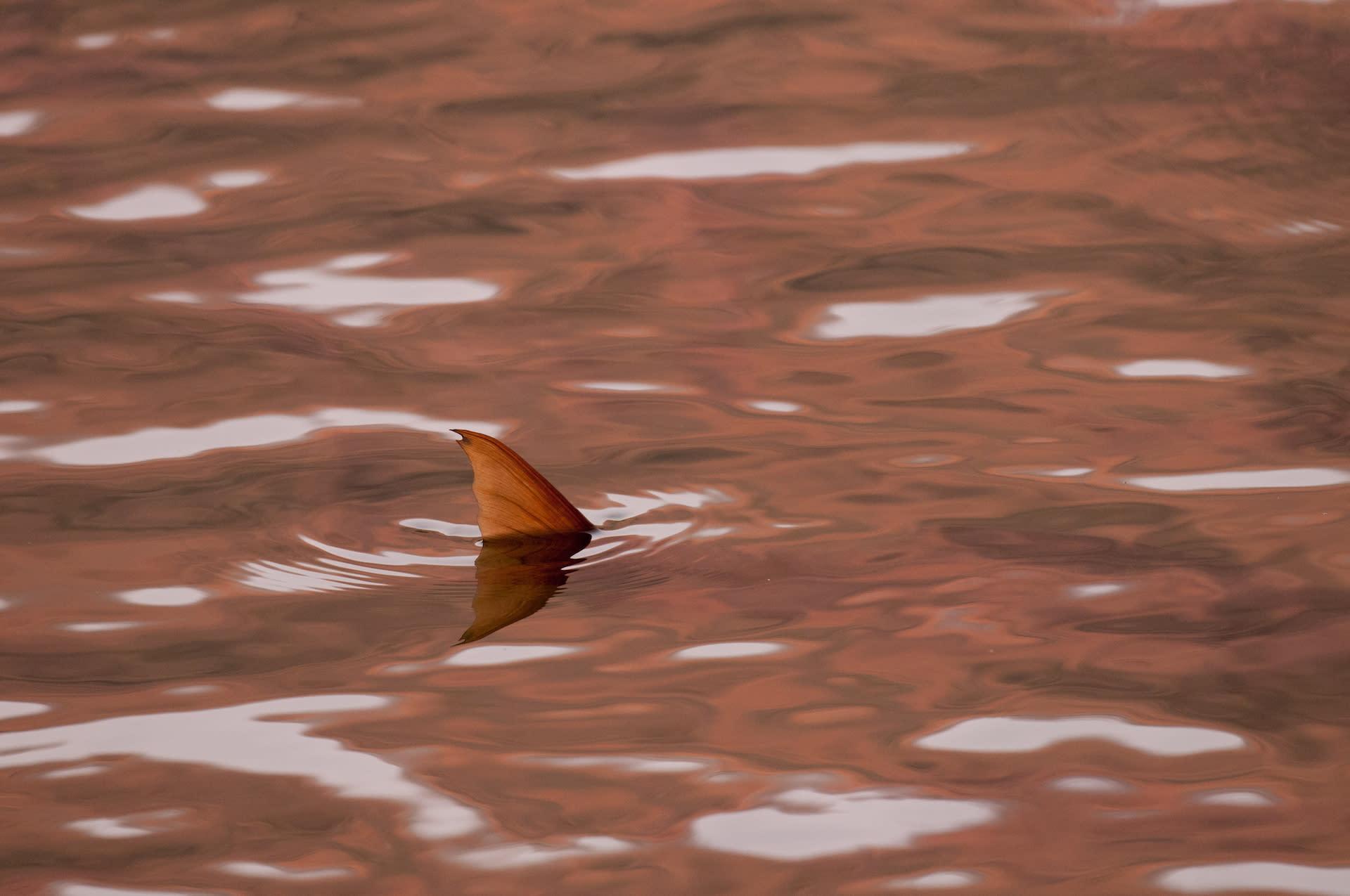 Humpback Mahseer: Big Fish in a Small World