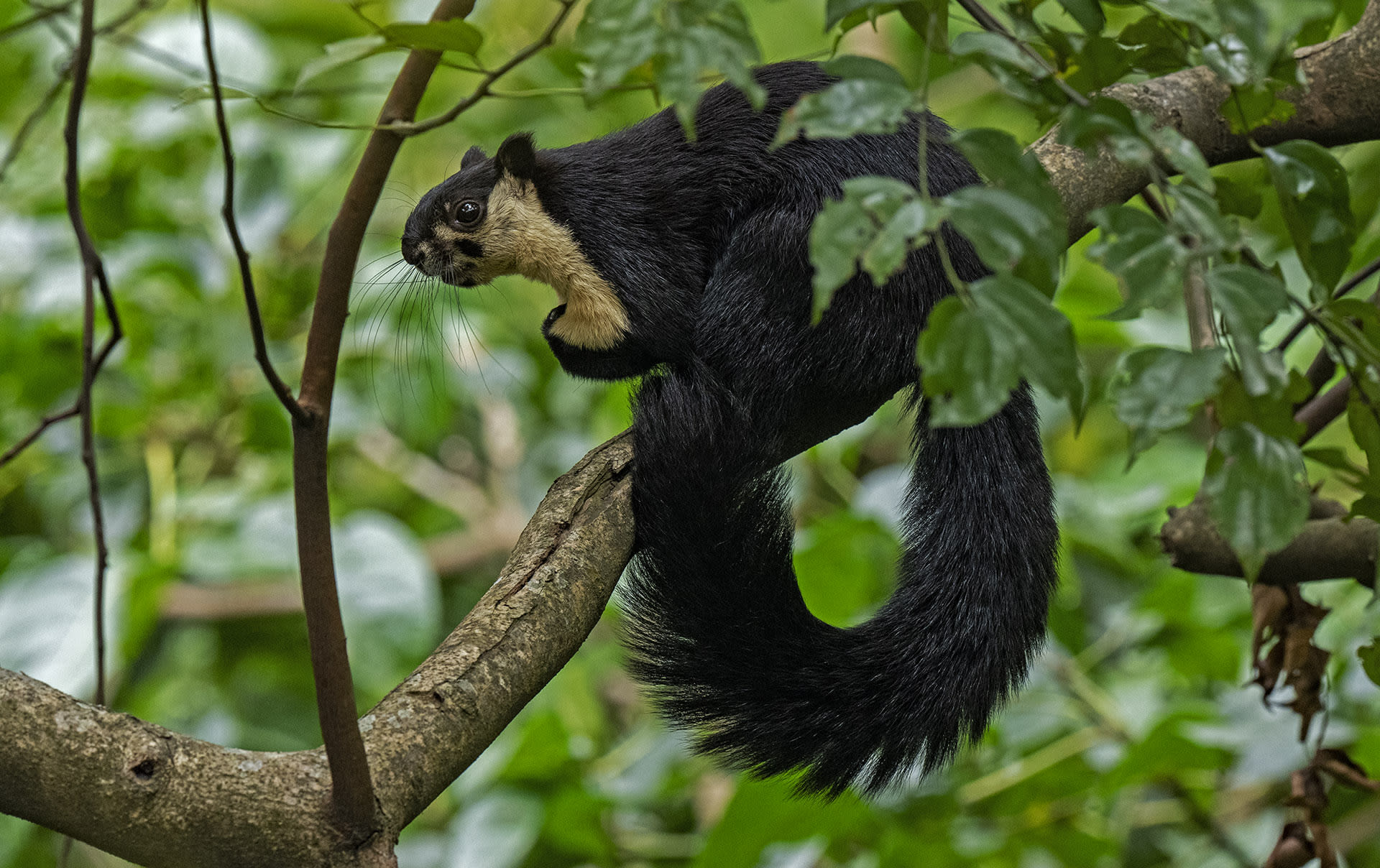 The Tree-Dwellers of Namdapha National Park