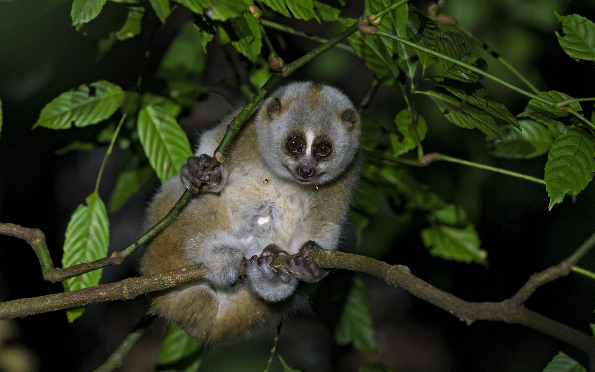 Namdapha supports seven species of primates, from the common rhesus macaque to more threatened populations of the hoolock gibbon, slow loris, and Assamese macaque