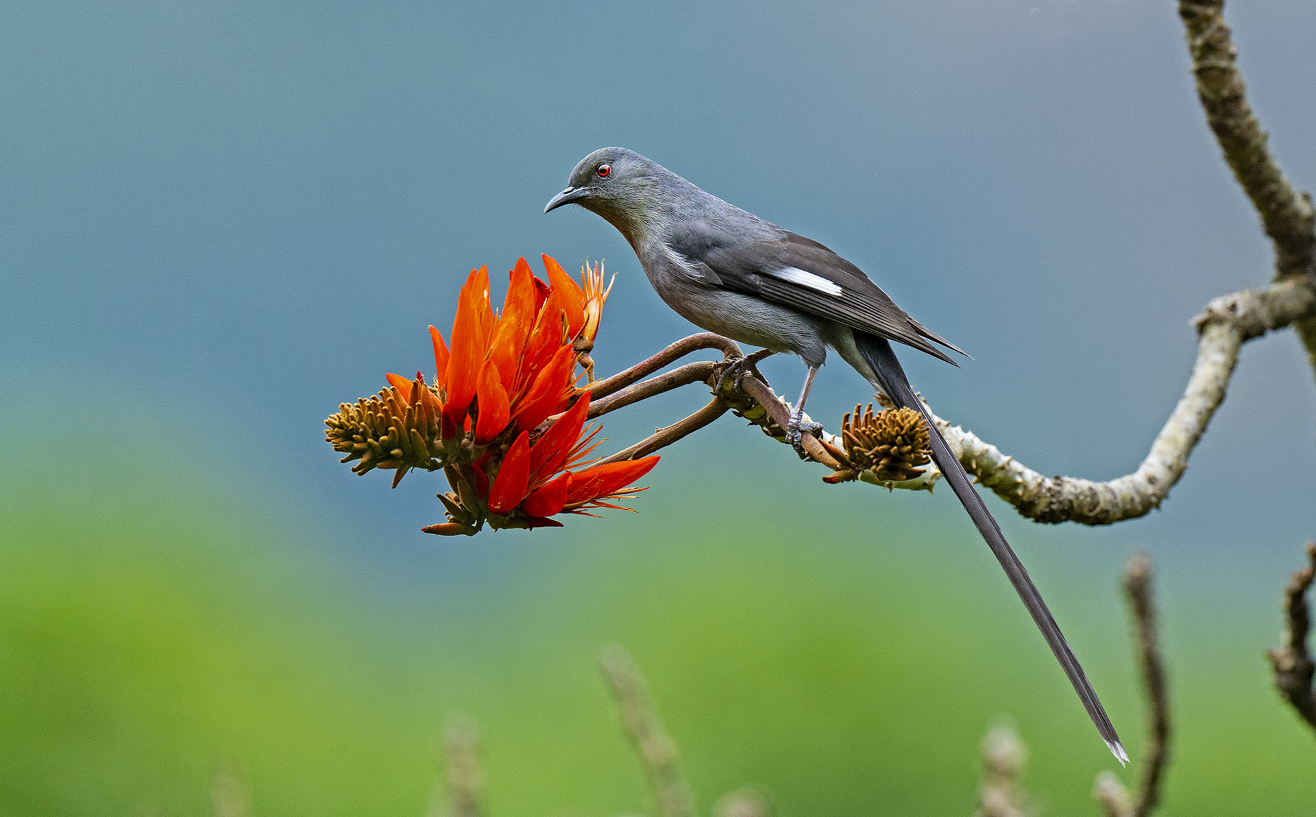 The long-tail sibia (Heterophasia picaoides) is a member of the babbler family of songbirds, found along the Eastern Himalayas. Global populations of the species have dropped in the last few decades, due to hunting by small, tribal communities and habitat loss, due to large-scale clearing of forests in the name of development.
