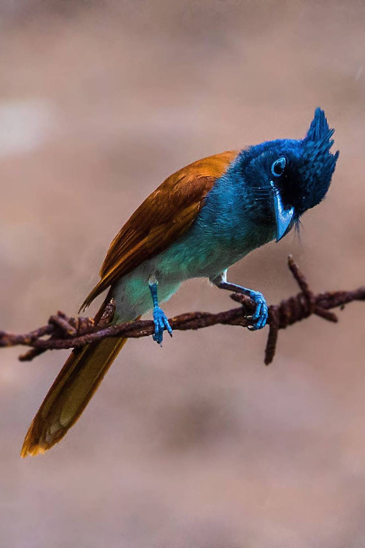 Indian paradise flycatcher sitting on a wire
