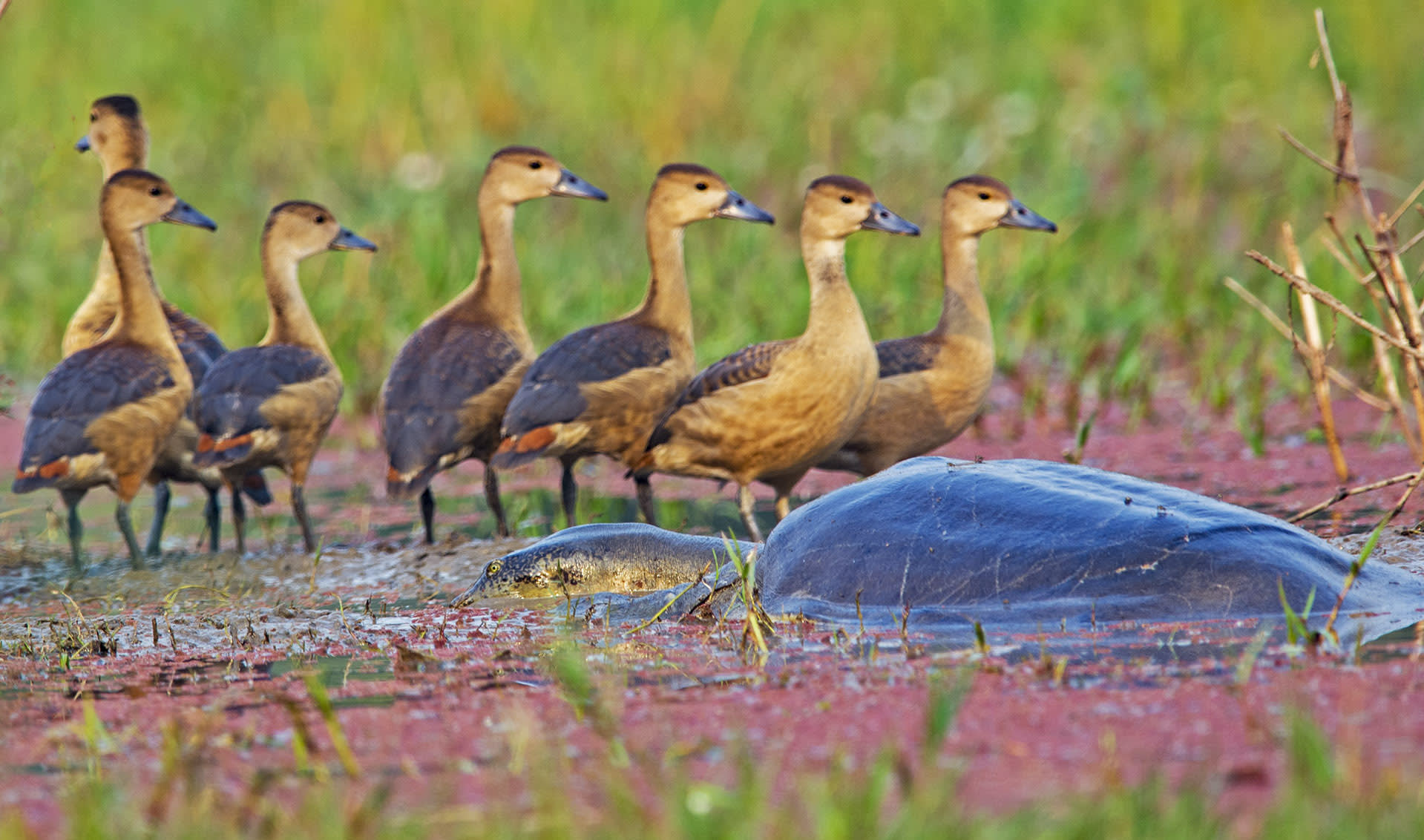 A Ganges softshell turtle surfaces to breathe as a flock of lesser whistling ducks forage in the background.