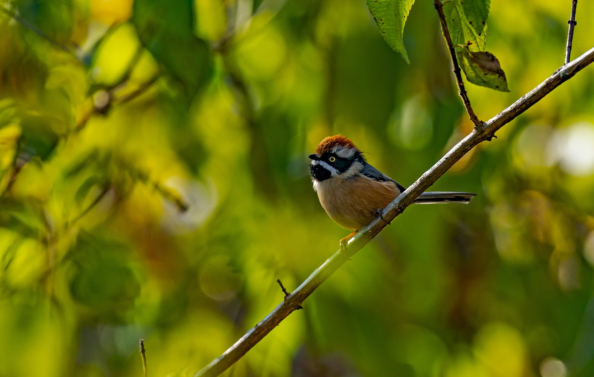 uttarakhand-kedarnath-wls-black-throated-tit-sitting-on-a-tree-branch