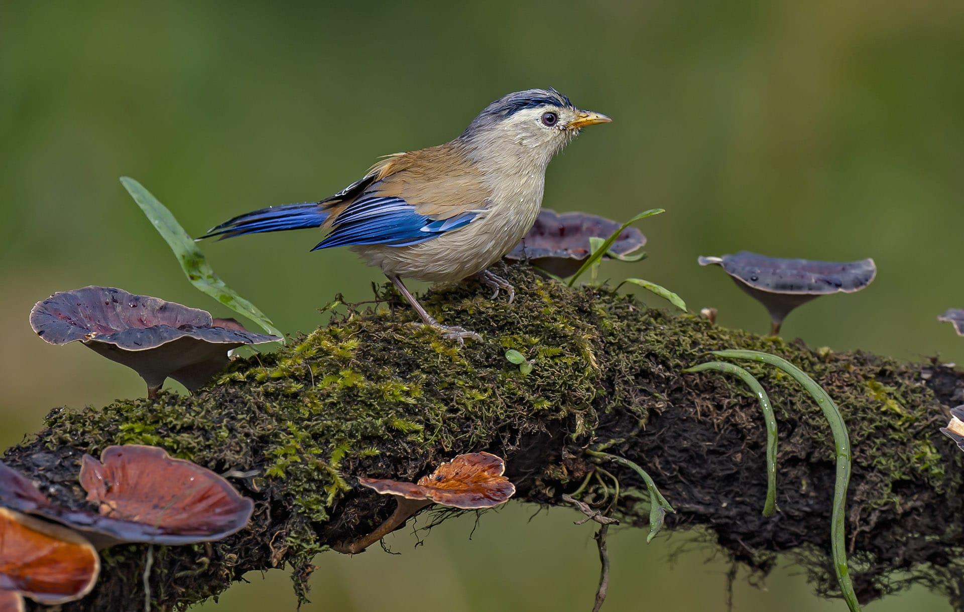 uttarakhand-kedarnath-wls-blue-winged-minla-on-mushrooms