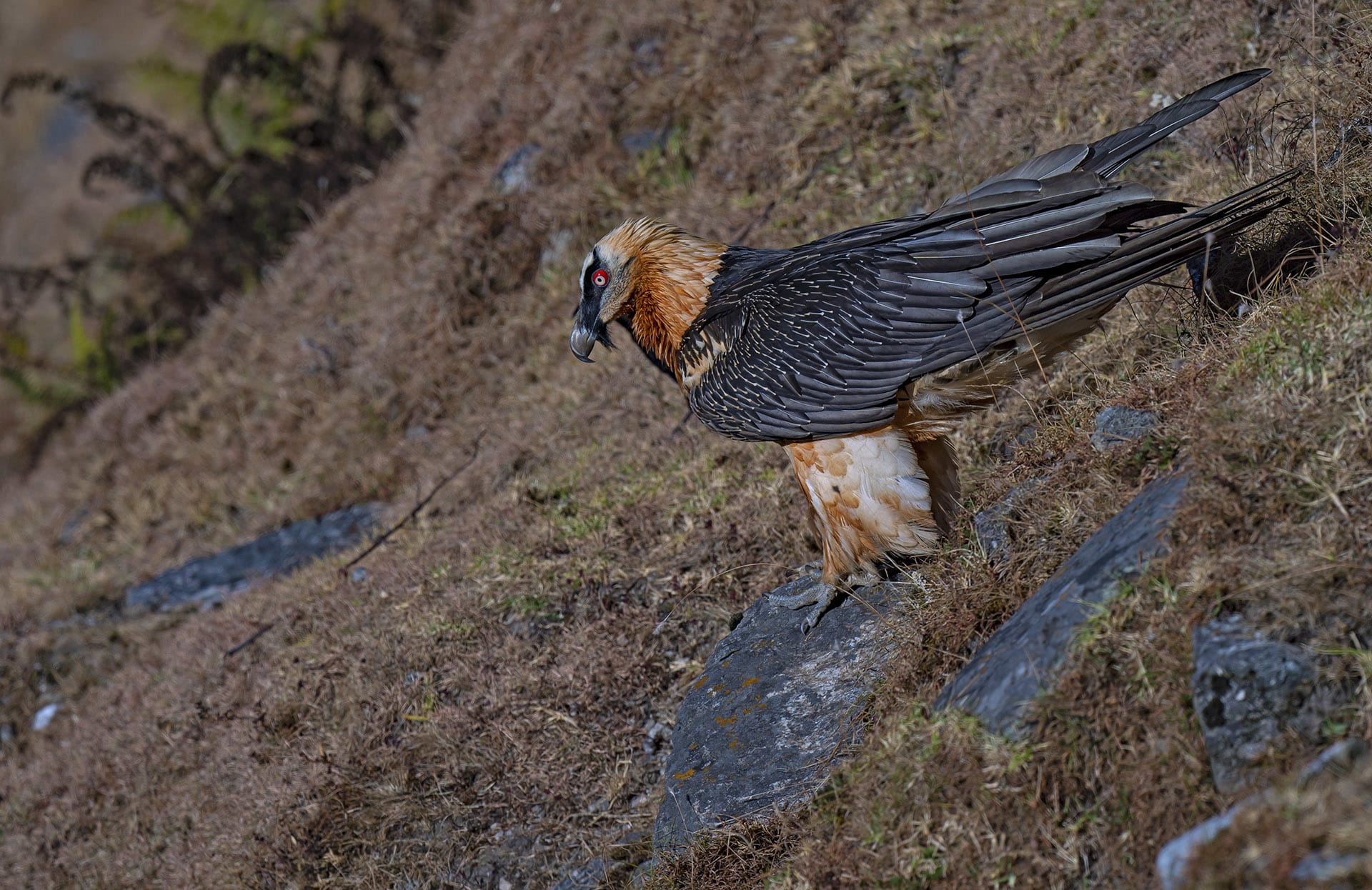 Vultures of the genus Gyps were affected most during the worst diclofenac-related deaths in the 1990s and 2000s. The drug that poisoned them may even affect the steppe eagle and the bearded vulture in the future. Steppe eagles winter in India and have been found around large cattle carcasses which could be rich sources of the drug. Similarly, bearded vultures too are known to feed on bone marrow and could be exposed to the dangers of diclofenac.