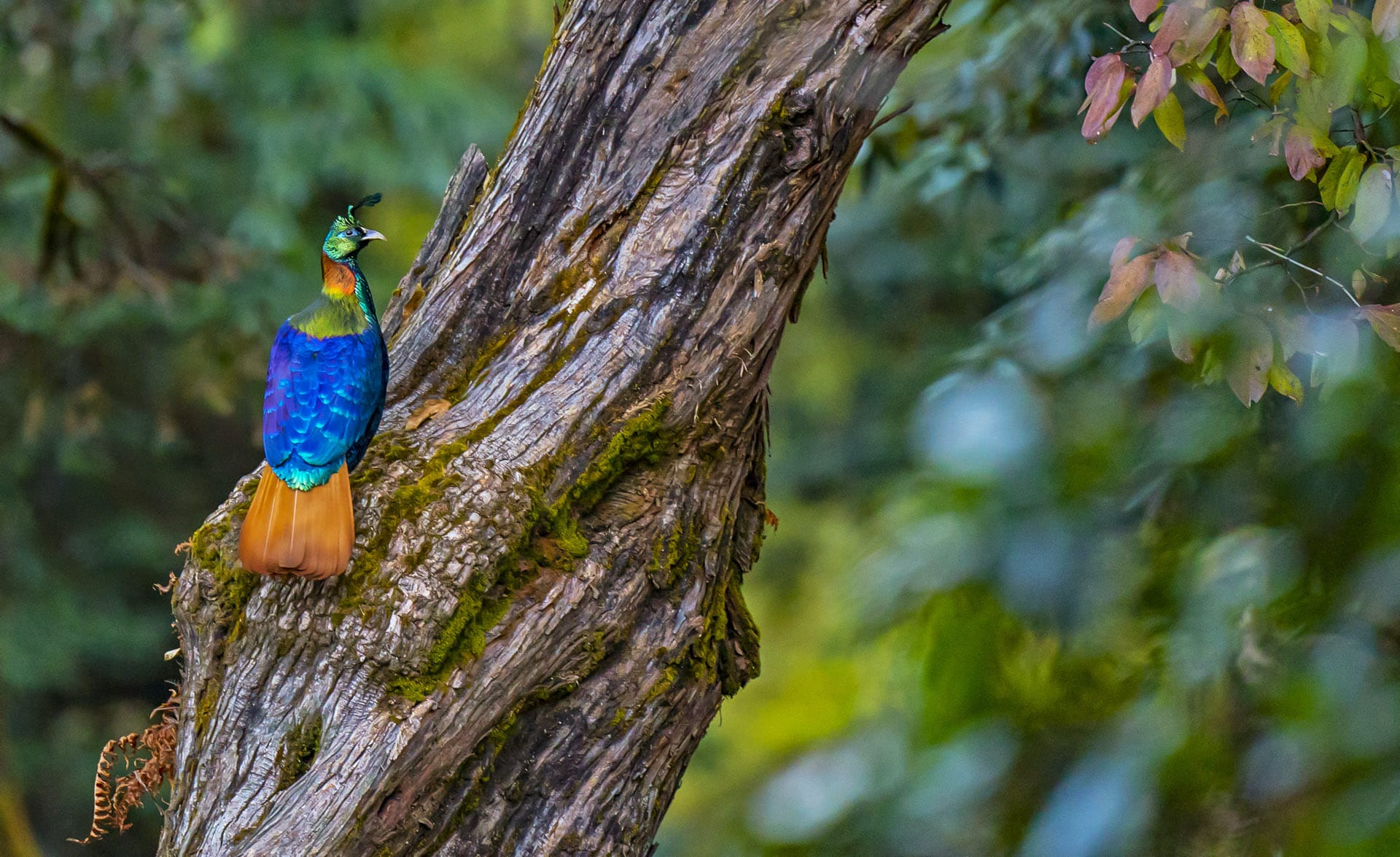 uttarakhand-kedarnath-wls-monal-male-sitting-on-tree-bark