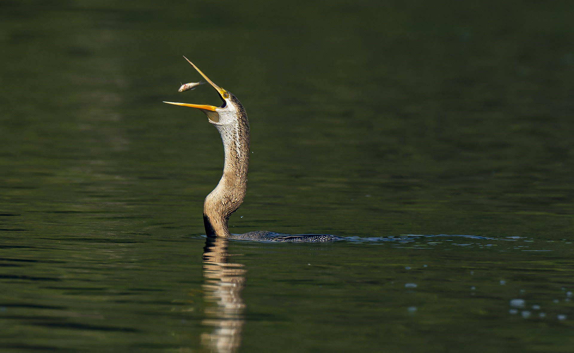 The Indian darter uses its dagger-like beak to spear fish underwater. After securing a catch, the bird tosses the fish into the air and swallows it whole.