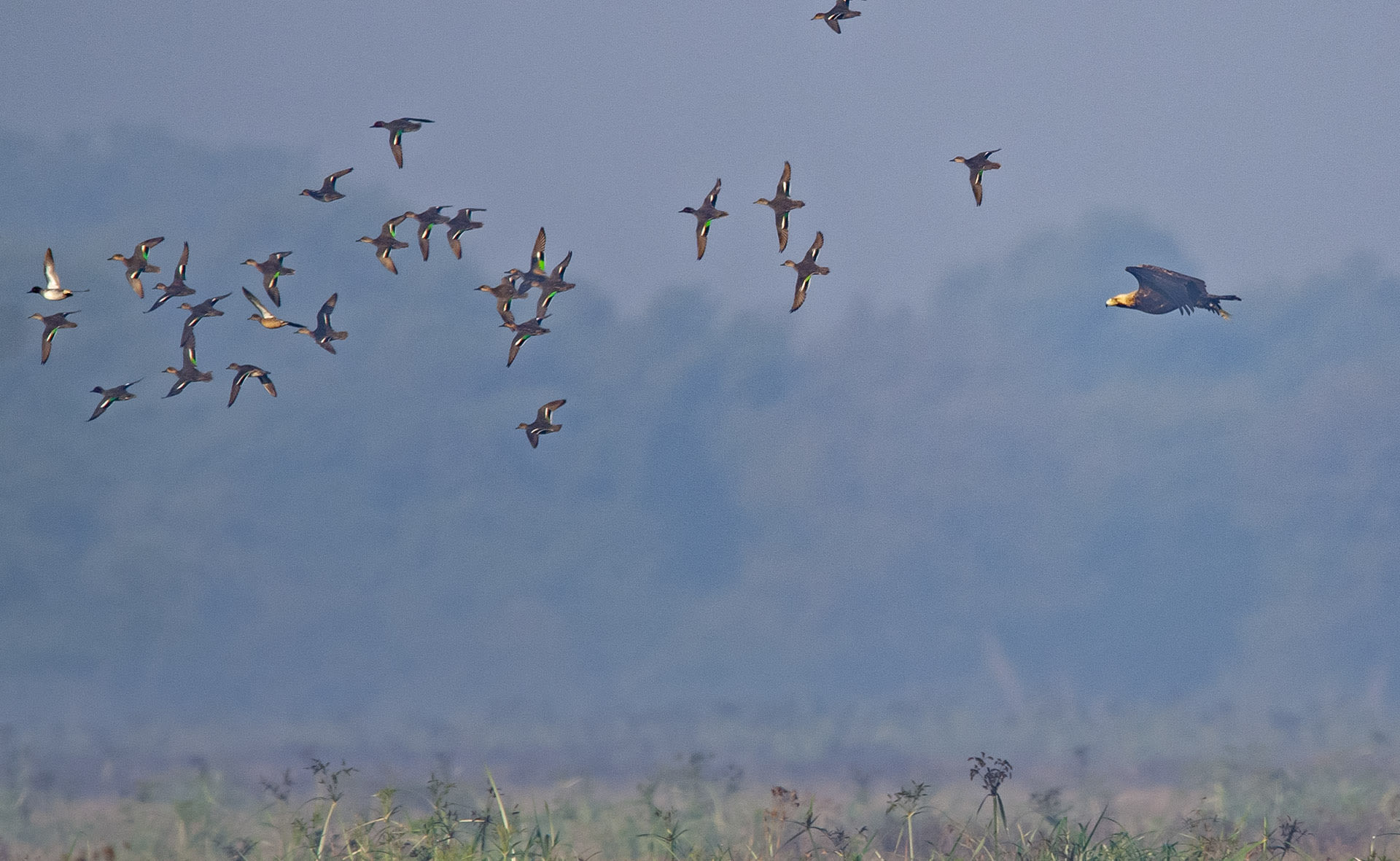 Bharatpur is a wintering site for the imperial eagle, seen here in pursuit of a flock of ducks. Prey is available in plenty for raptors and other birds during the winter months.