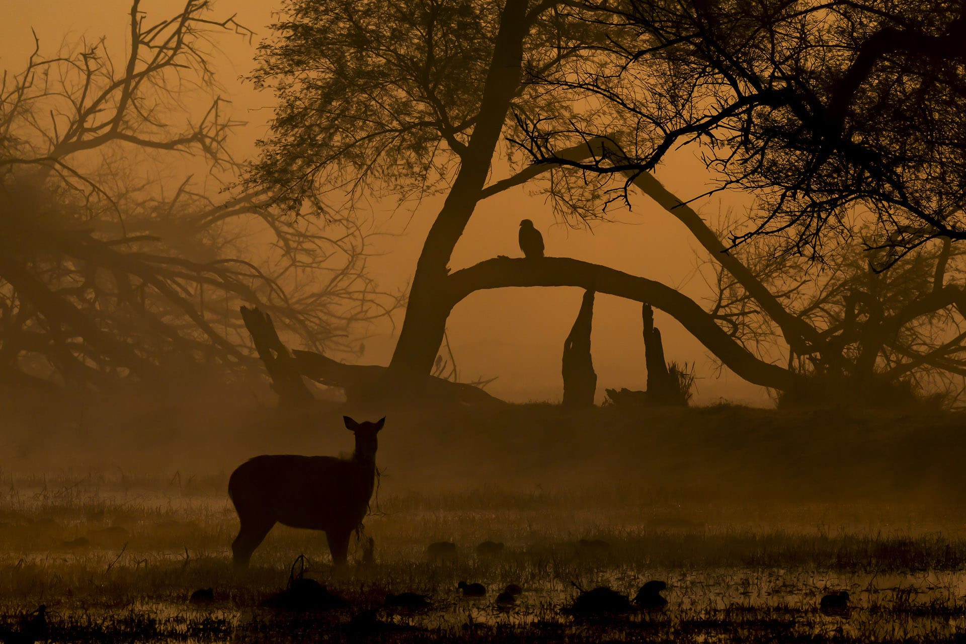 Twilight reveals the silhouettes of a sambar and a raptor in Bharatpur. The rich birdlife of the park continues to attract thousands of visitors to the park every year.  Photo: Dhritiman Mukherjee