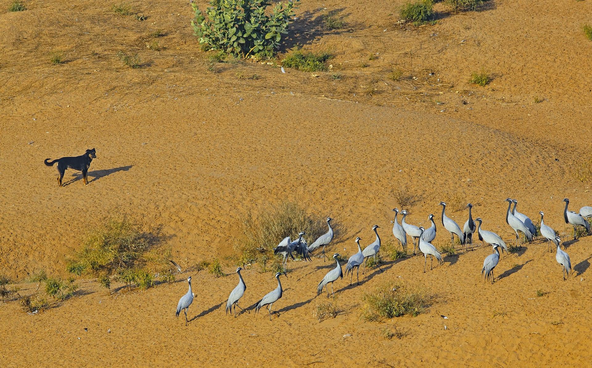 kheechan-demoiselle-crane-flock-with-free-ranging-dog