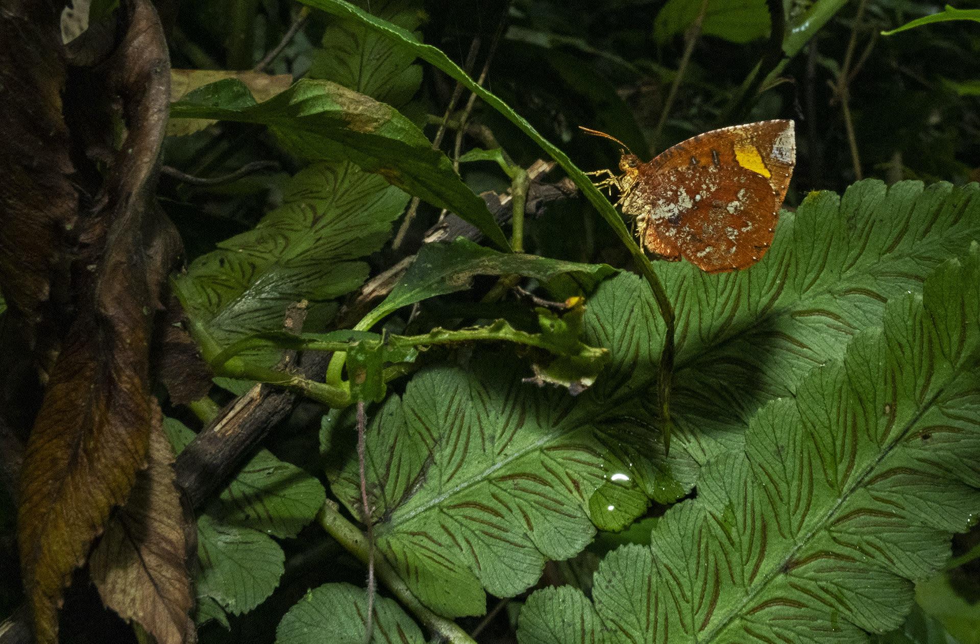 namdapha-butterfly-moth-callidula-attenuate