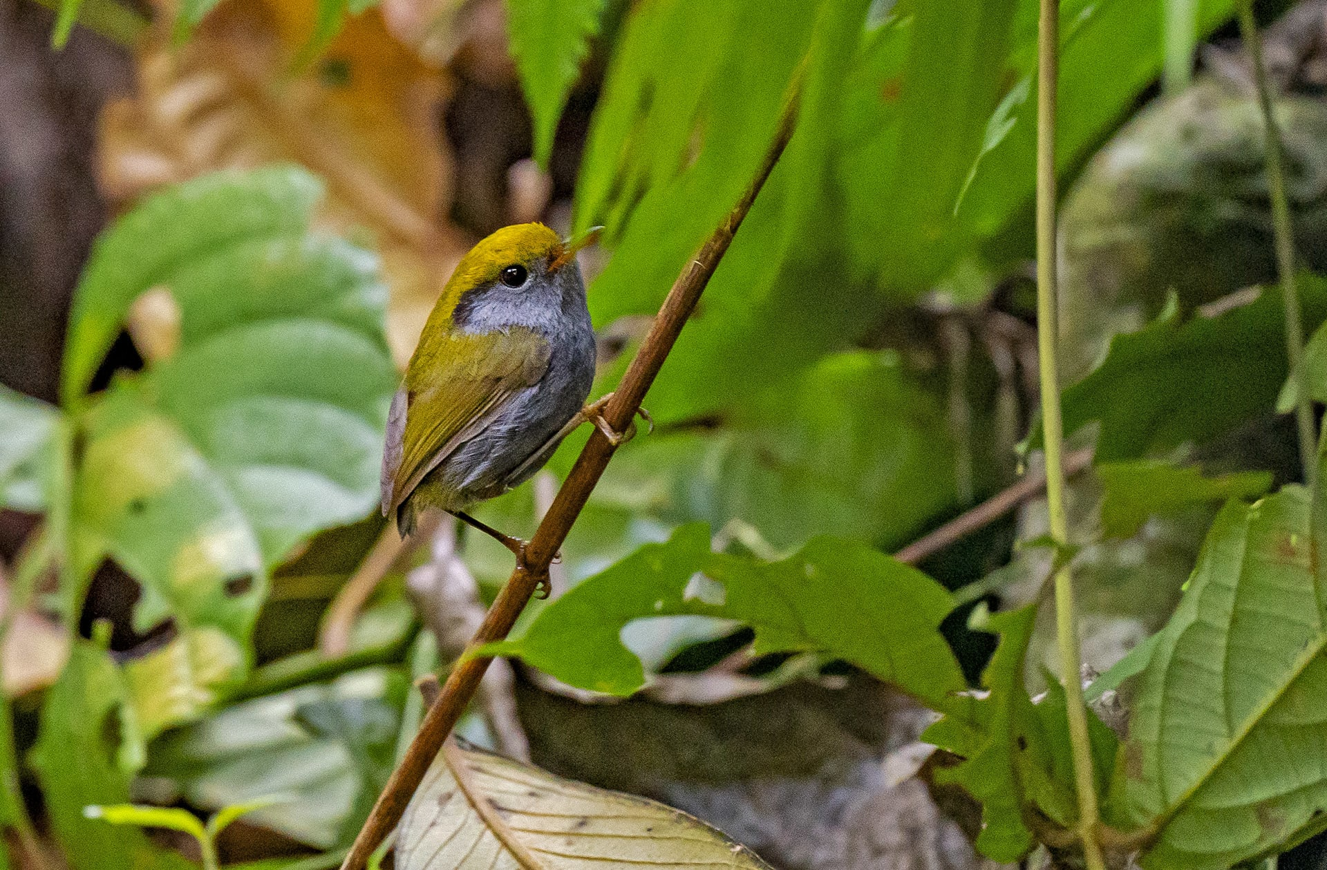 namdapha-grey-bellied-tesia-tesia-cyaniventer-bush-bird-foraging