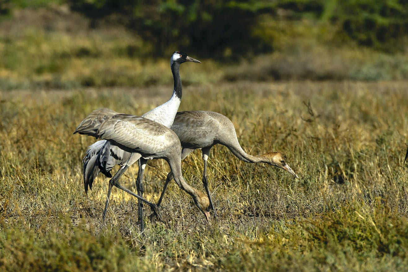 common-cranes-adult-and-juvenille-on-grass