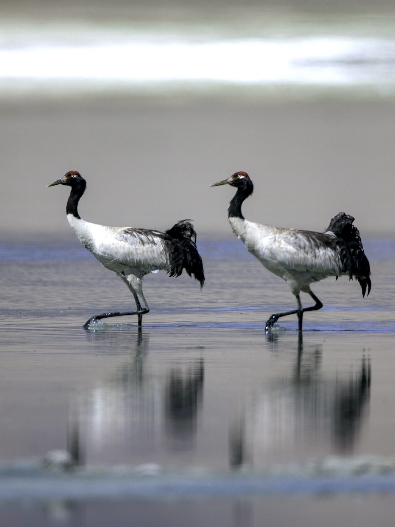 ladakh-black-necked-cranes-with-reflection