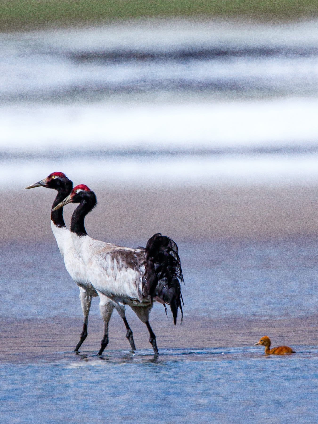 ladakh-black-necked-cranes-with-chick-swimming