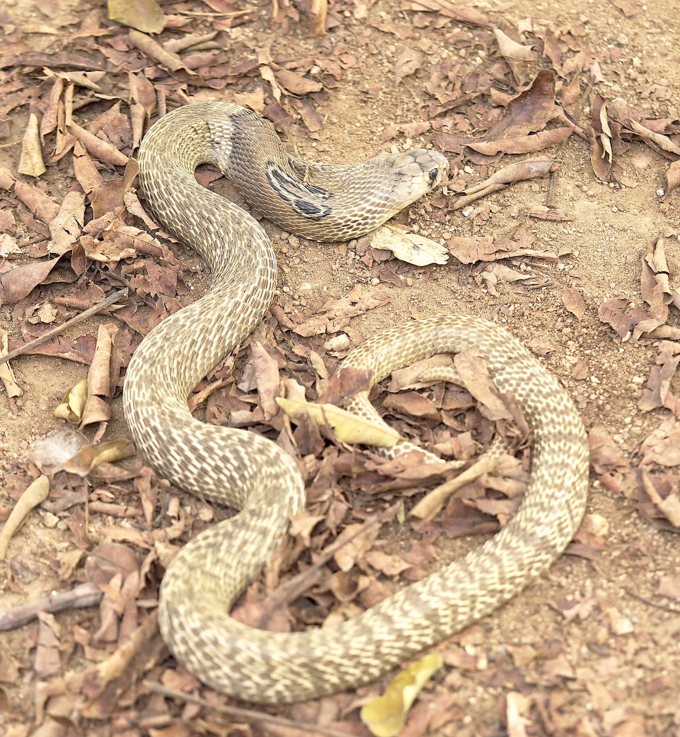 The snake's colour can vary from black to dark brown, to a creamy white across the habitats it occupies.