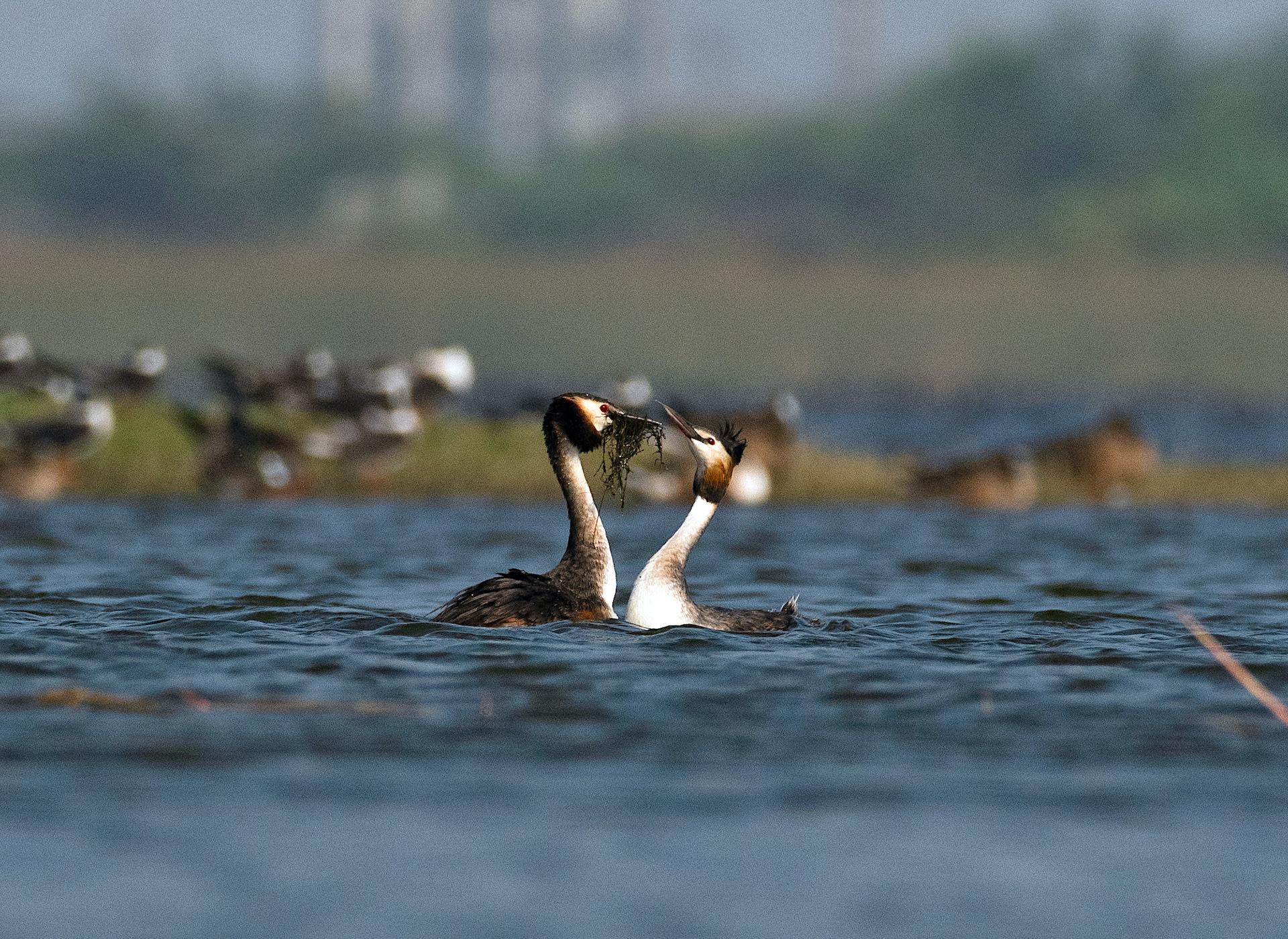 gujarat-jamnagar-great-crested-grebe-courtship-dance-close