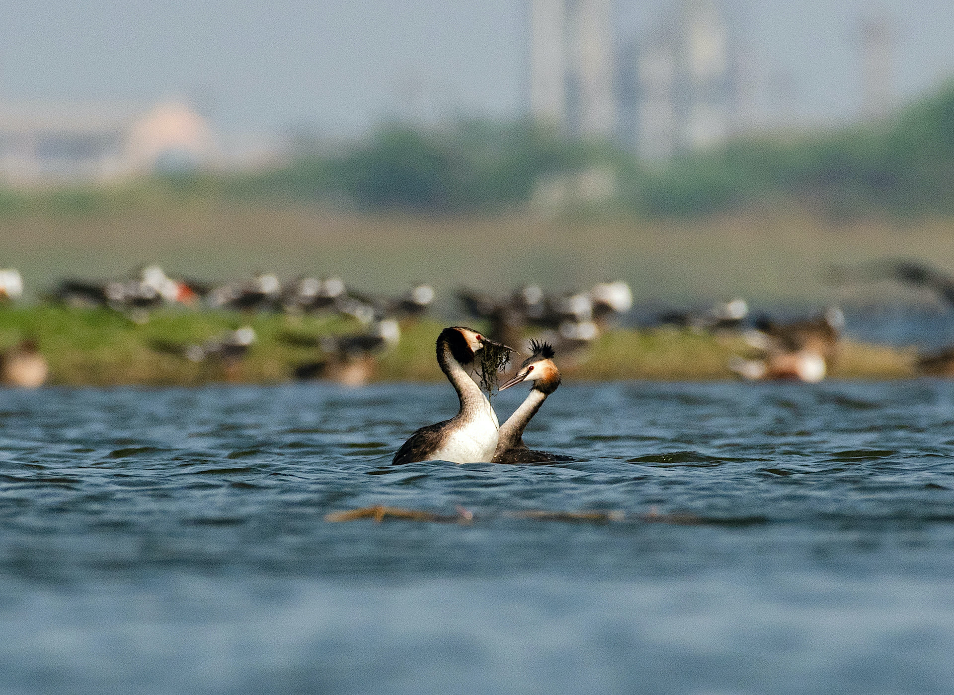 gujarat-jamnagar-great-crested-grebe-courtship-dance-close-to-each-other