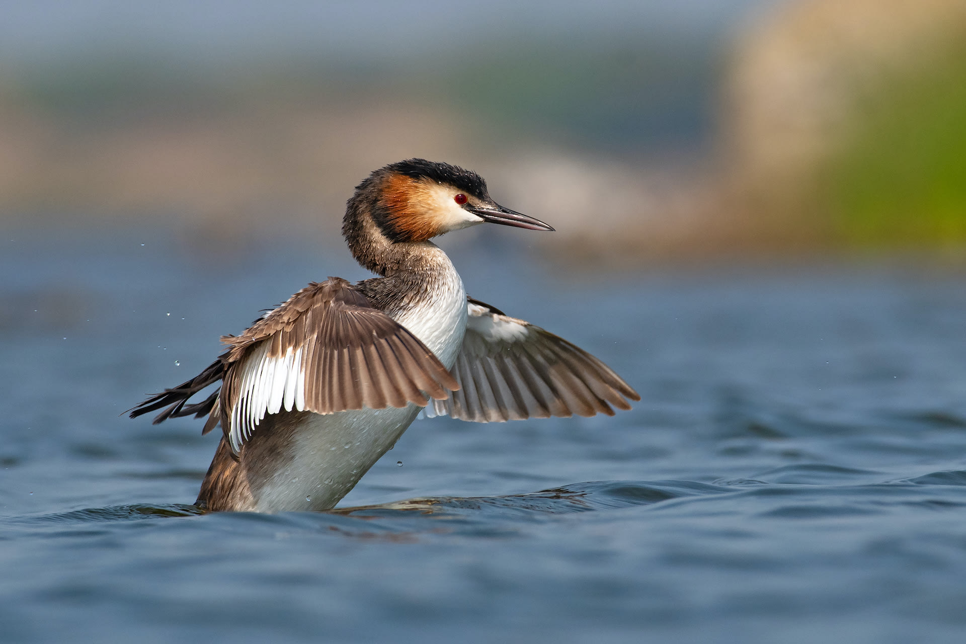 gujarat-jamnagar-great-crested-grebe-flapping-wings-in-water