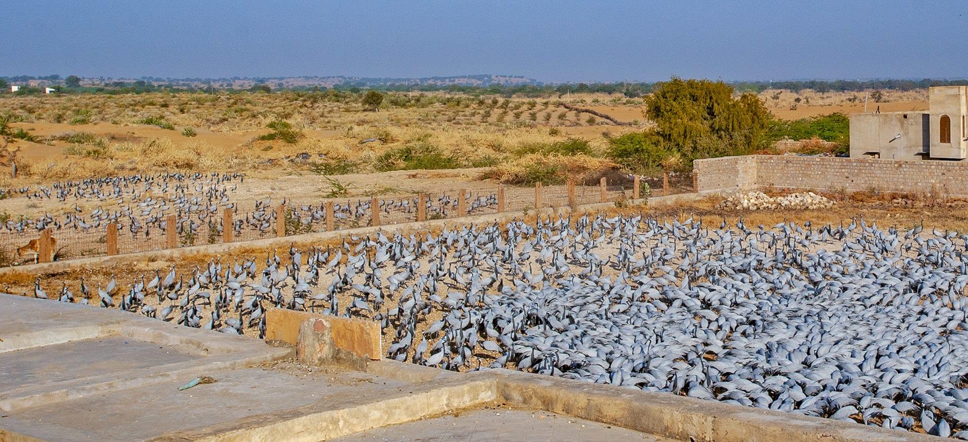 kheechan-demoiselle-crane-flock-flying-feeding-house-waiting-for-their-turn