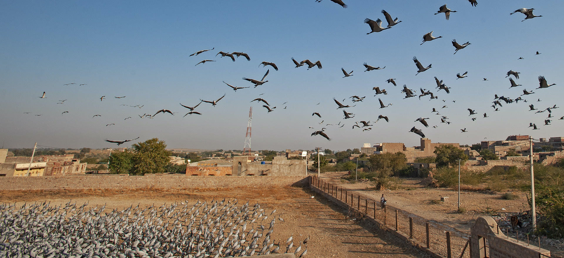 kheechan-demoiselle-crane-flock-flying-feeding-house-flying-away-once-done-with-food