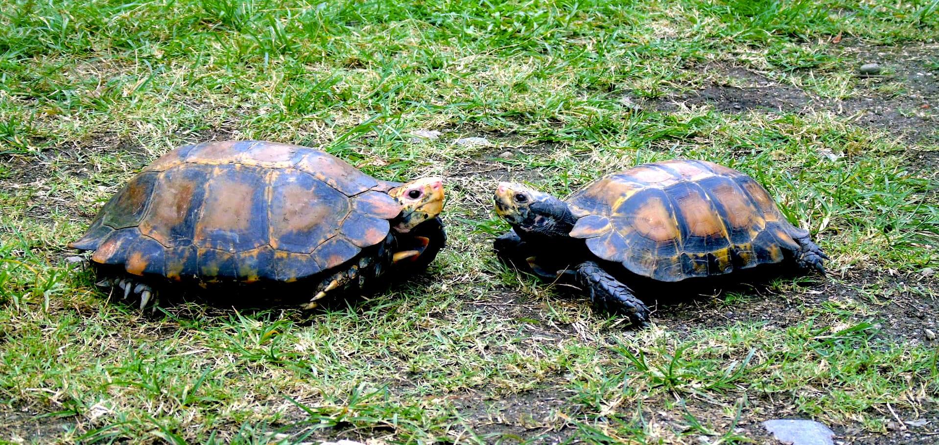 arunachal-pradesh-impressed-tortoise-female-on-left-and-male-right